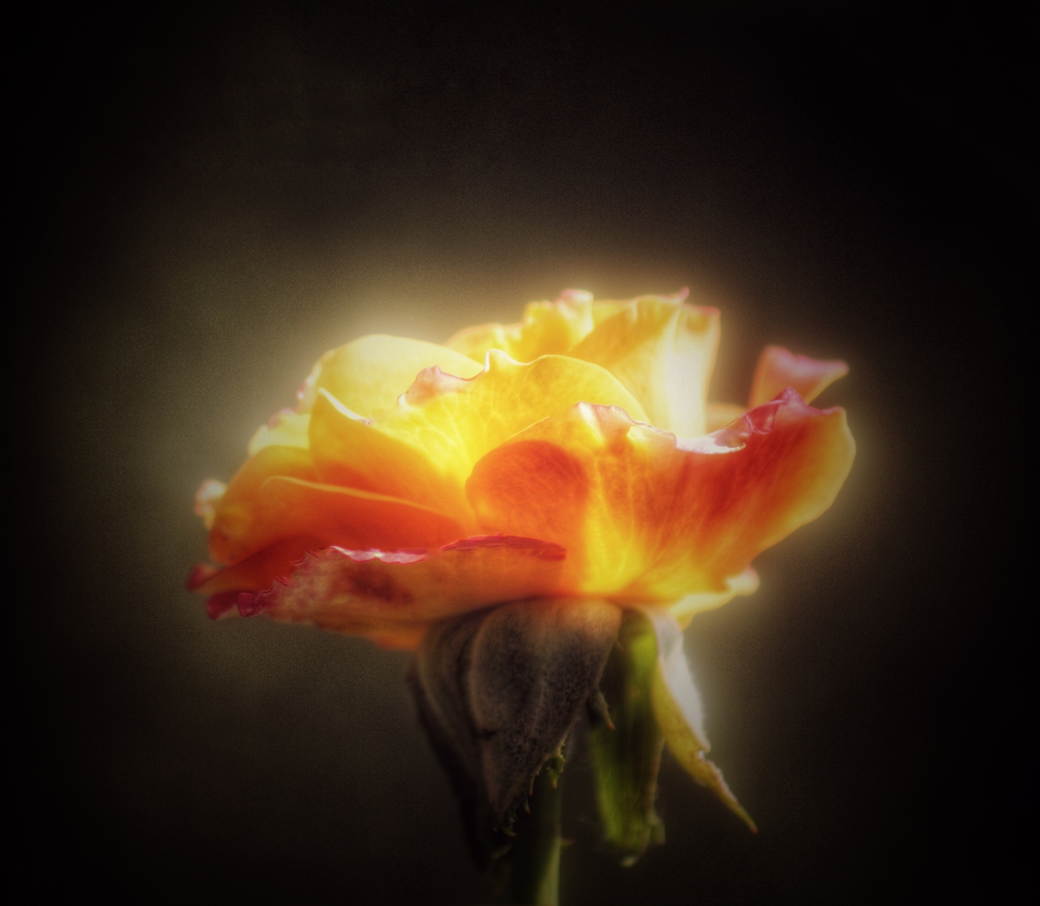 Glowing rose by amy.conger.9