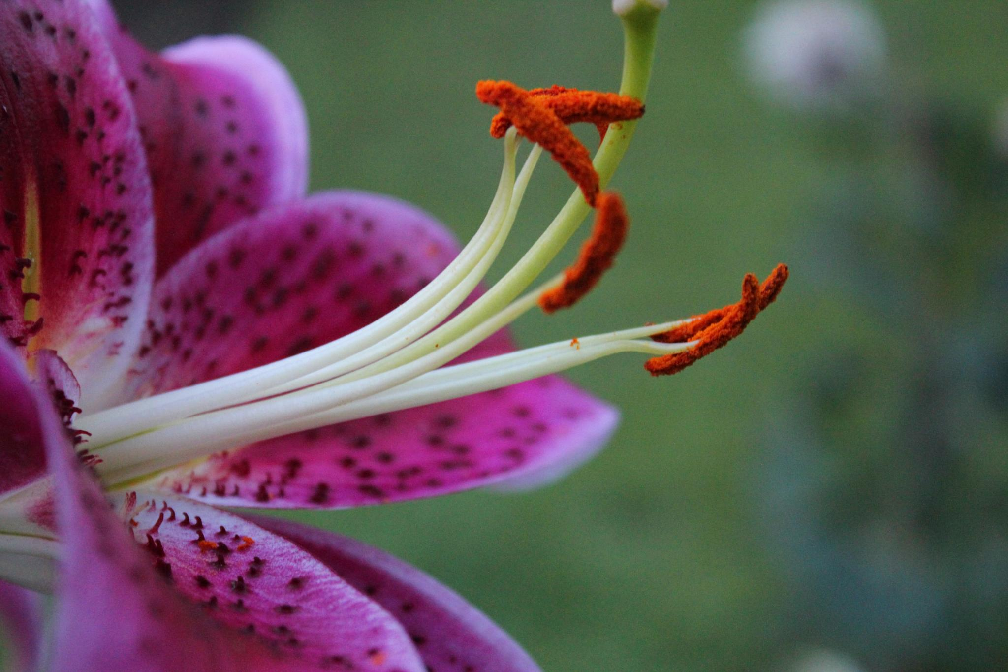 Brown Dots Lily by Lisa Schneider