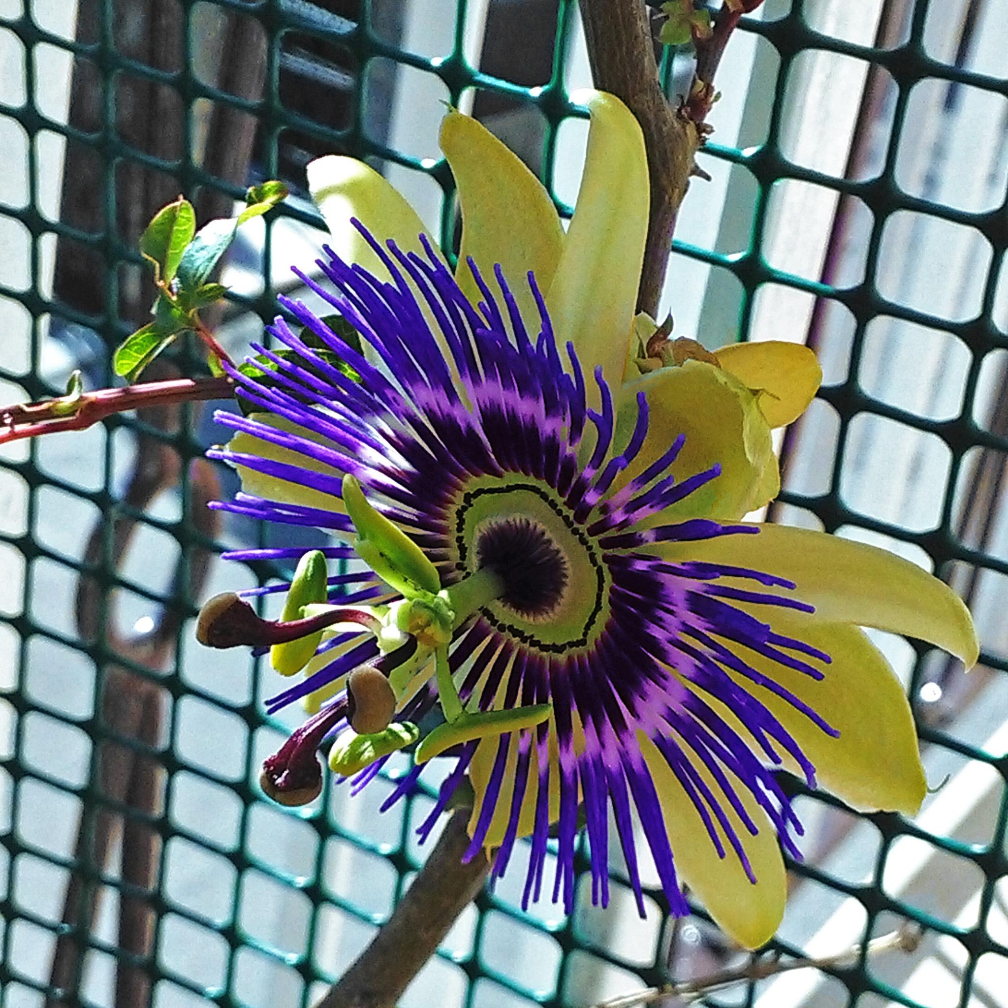 Passion Flower - fiore della passione by Massimo Onetti Muda