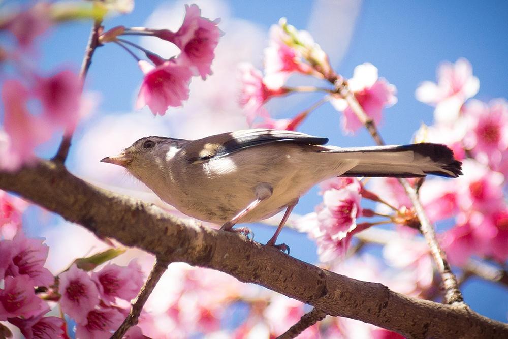 Little bird on Sakura tree by hpk2652