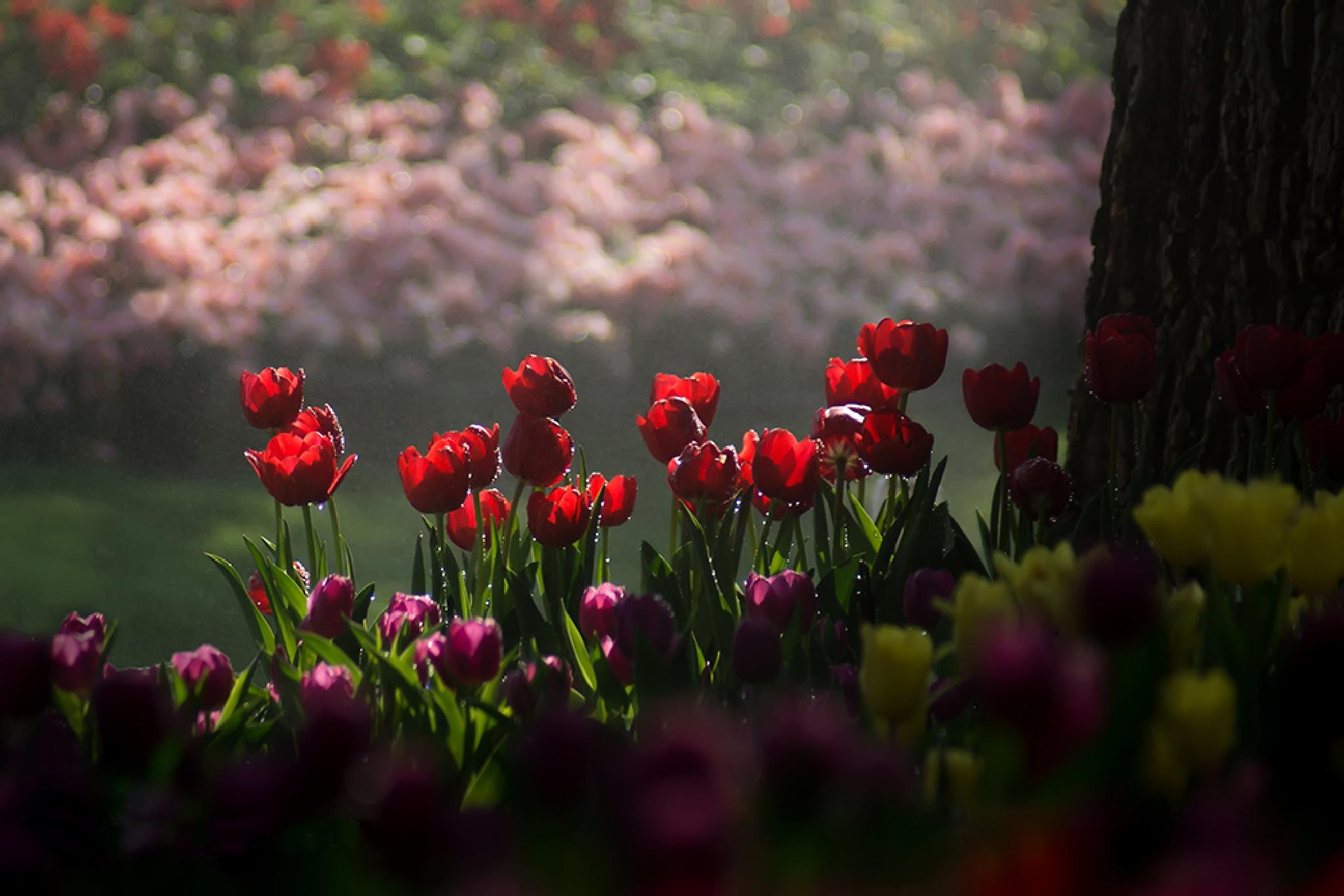 Tulips in the garden by hpk2652