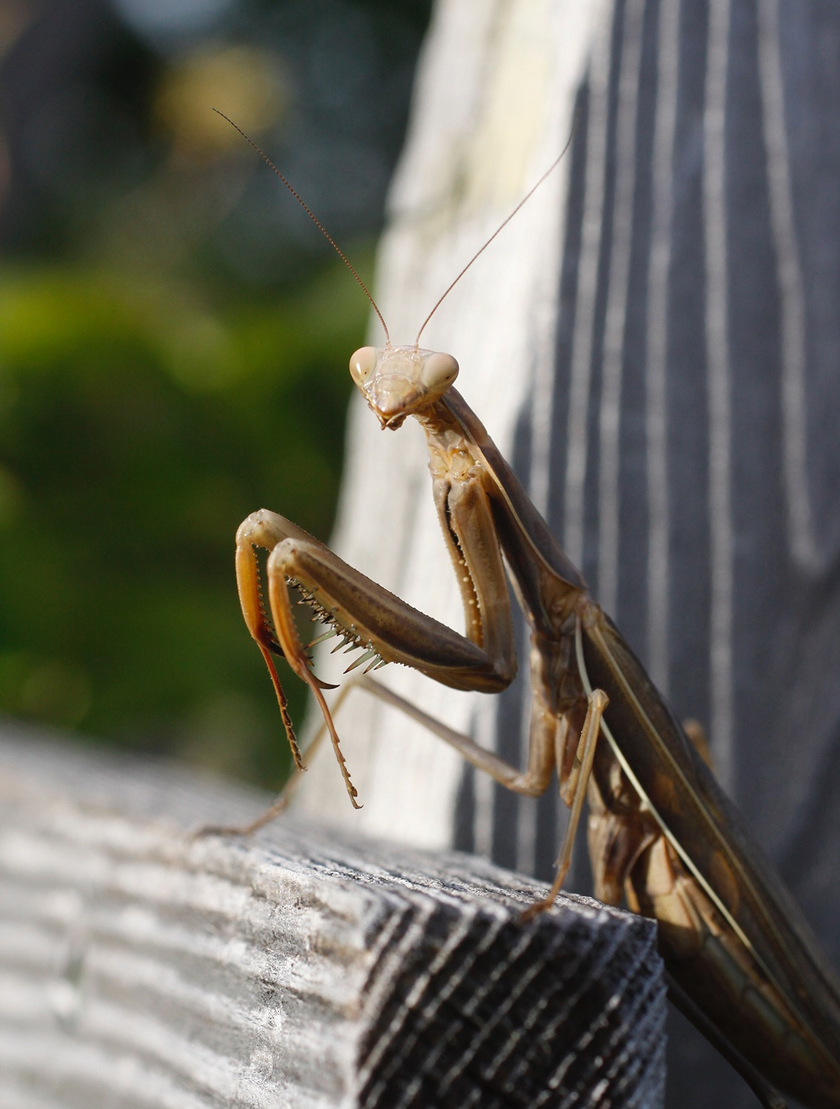 mantis by cboehlkejr