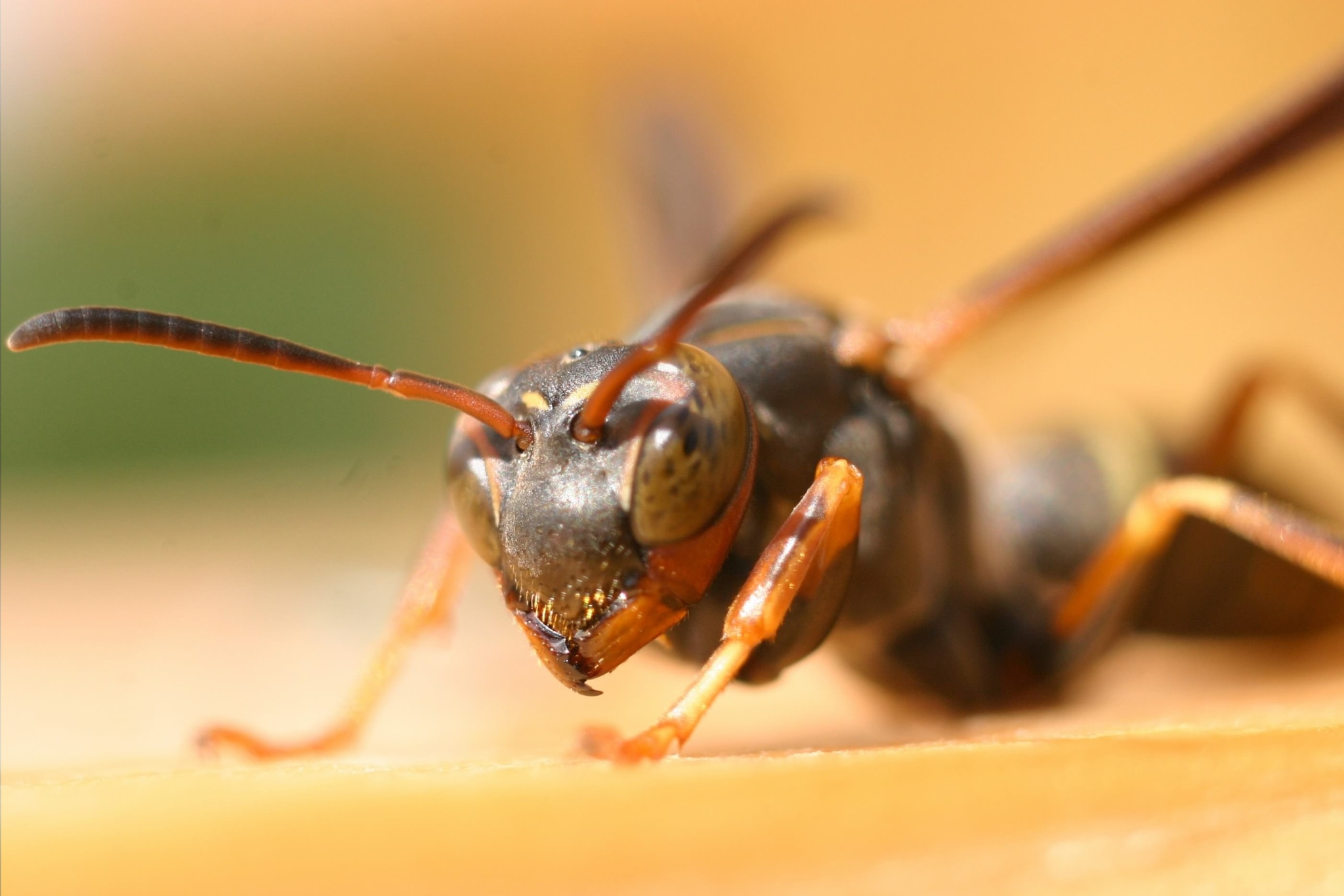 wasp by cboehlkejr