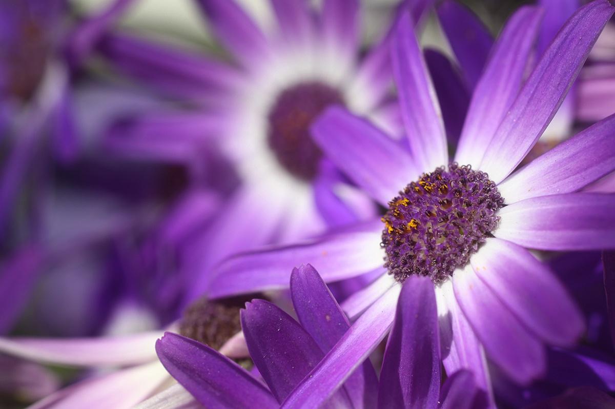 deep purple by cboehlkejr