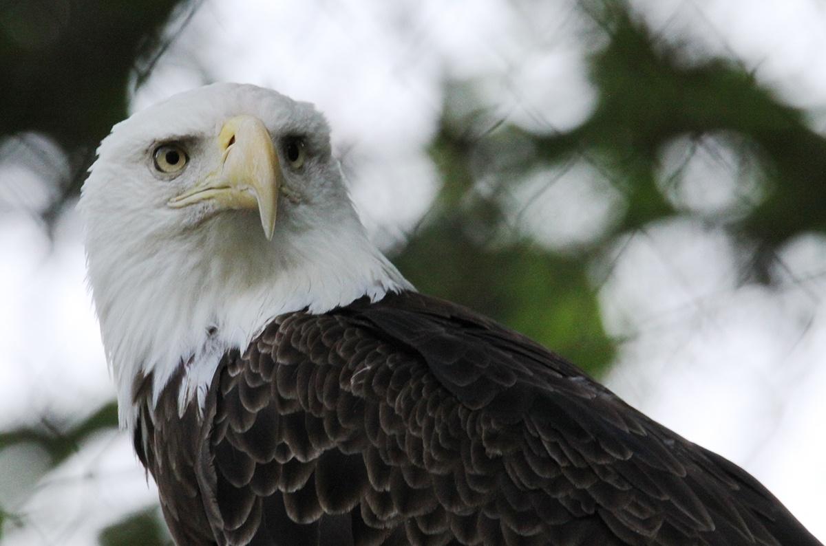 bald eagle by cboehlkejr