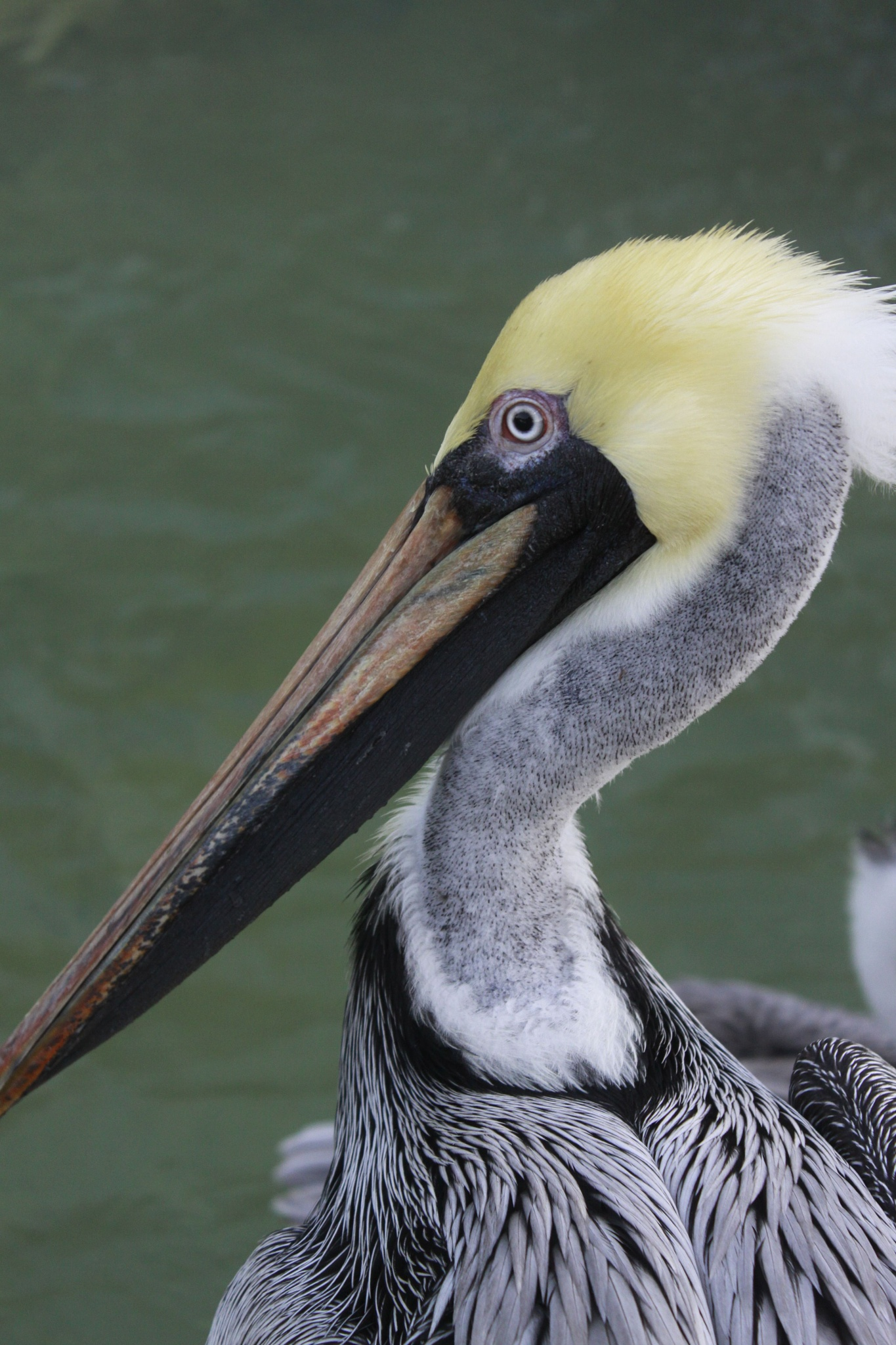 pelican by cboehlkejr