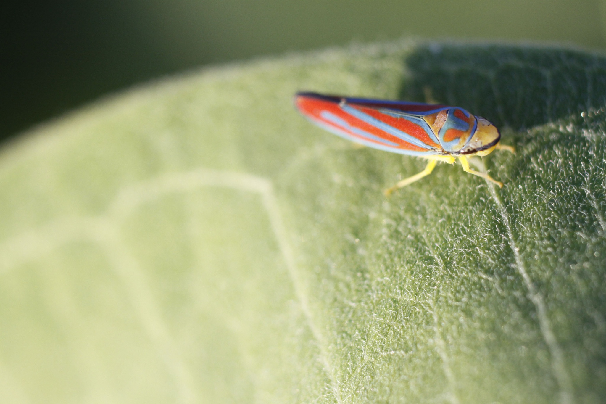 colorful leaf hopper by cboehlkejr