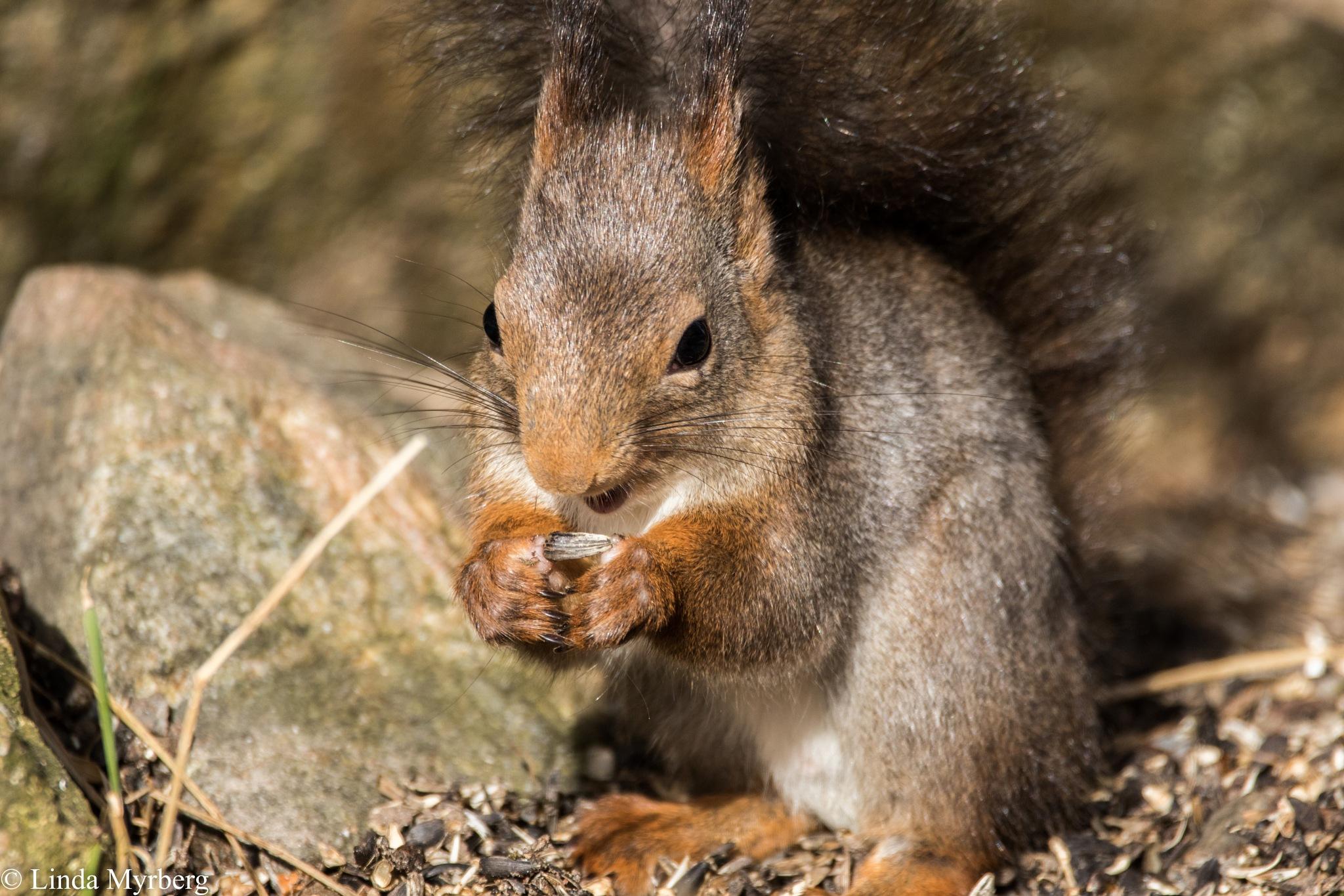 Squirrel  by Linda Myrberg