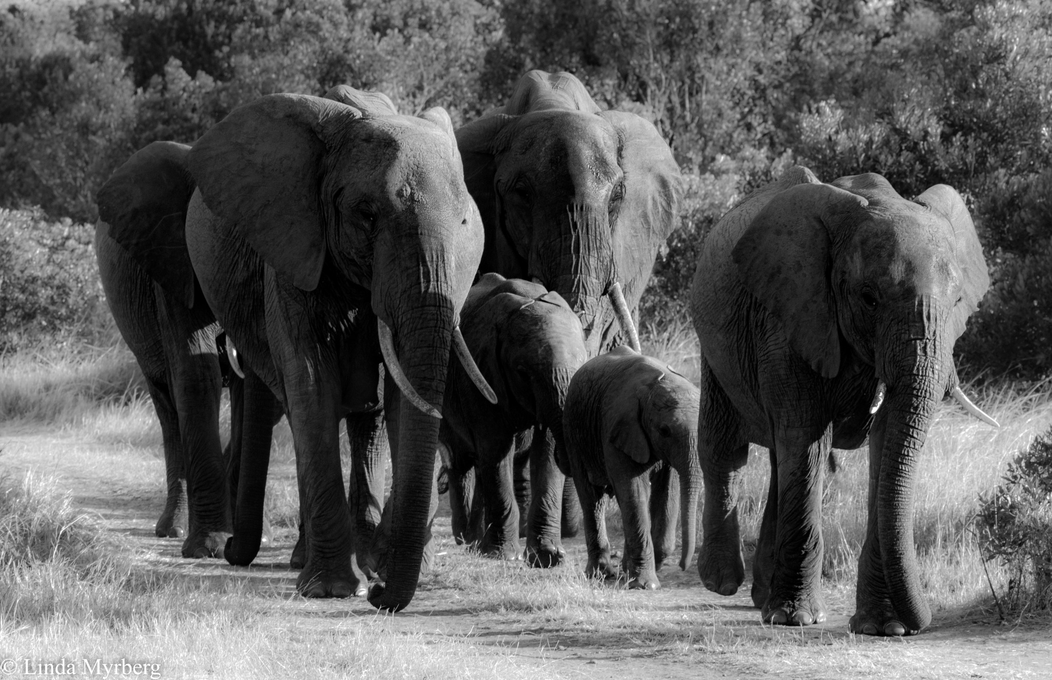 Elephant walk by Linda Myrberg