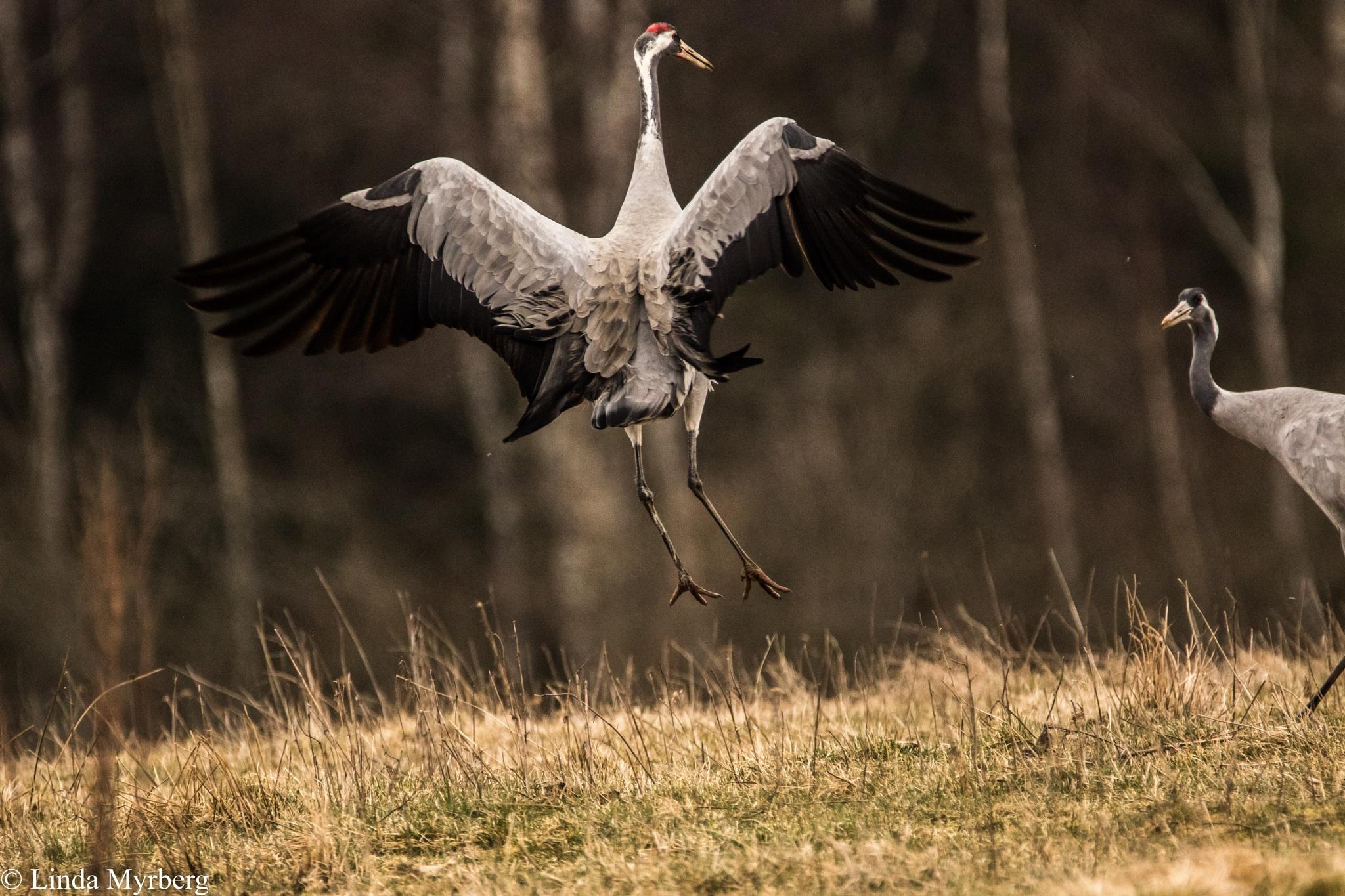 Dancing Crane by Linda Myrberg