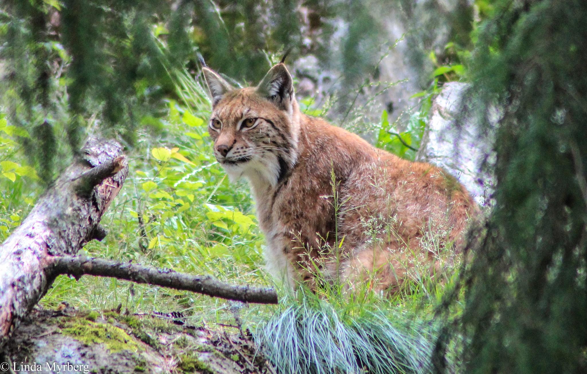 Lynx by Linda Myrberg