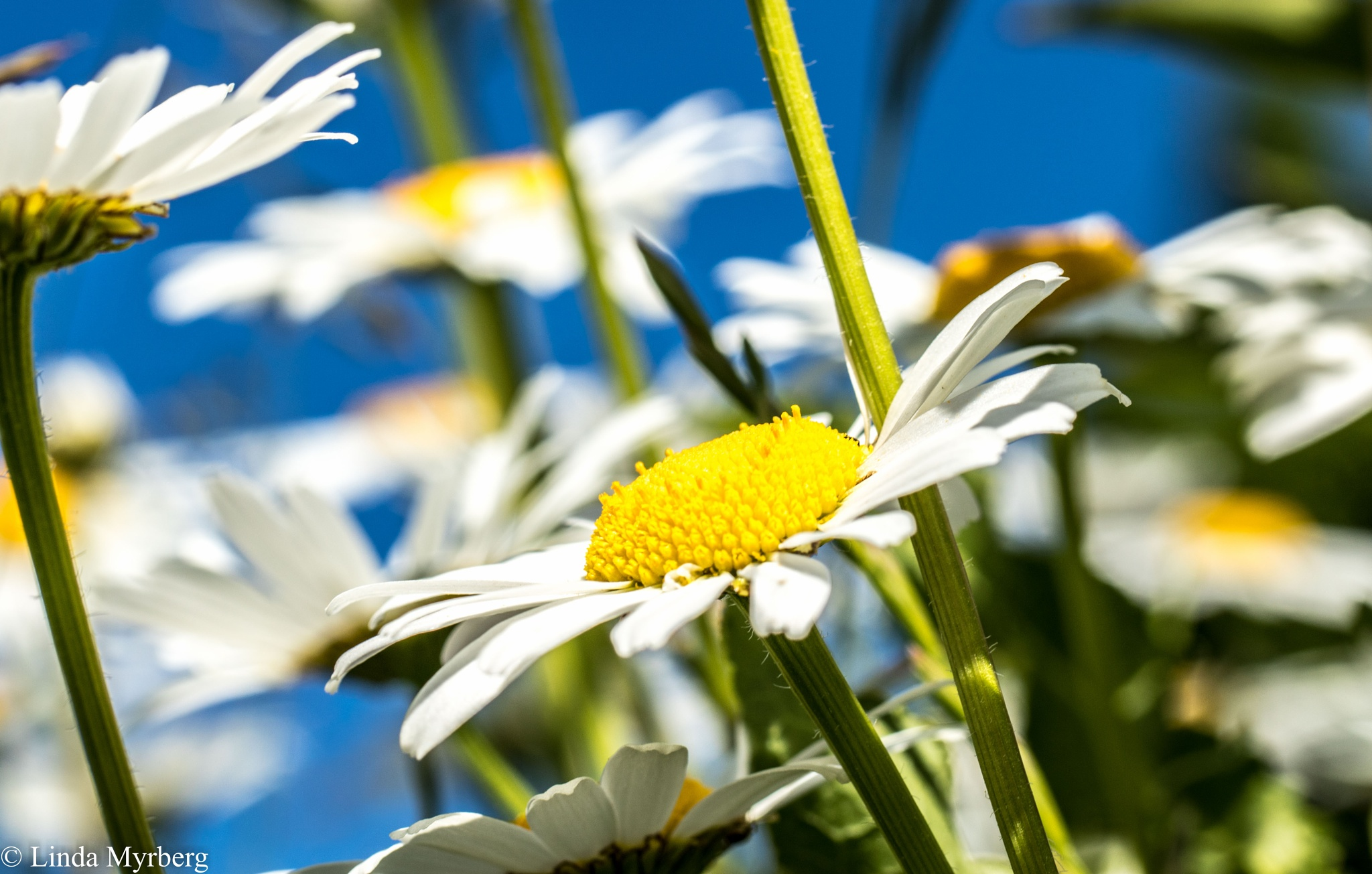 Photo in Nature #flower #sweden #canon #nature #marguerite #summer