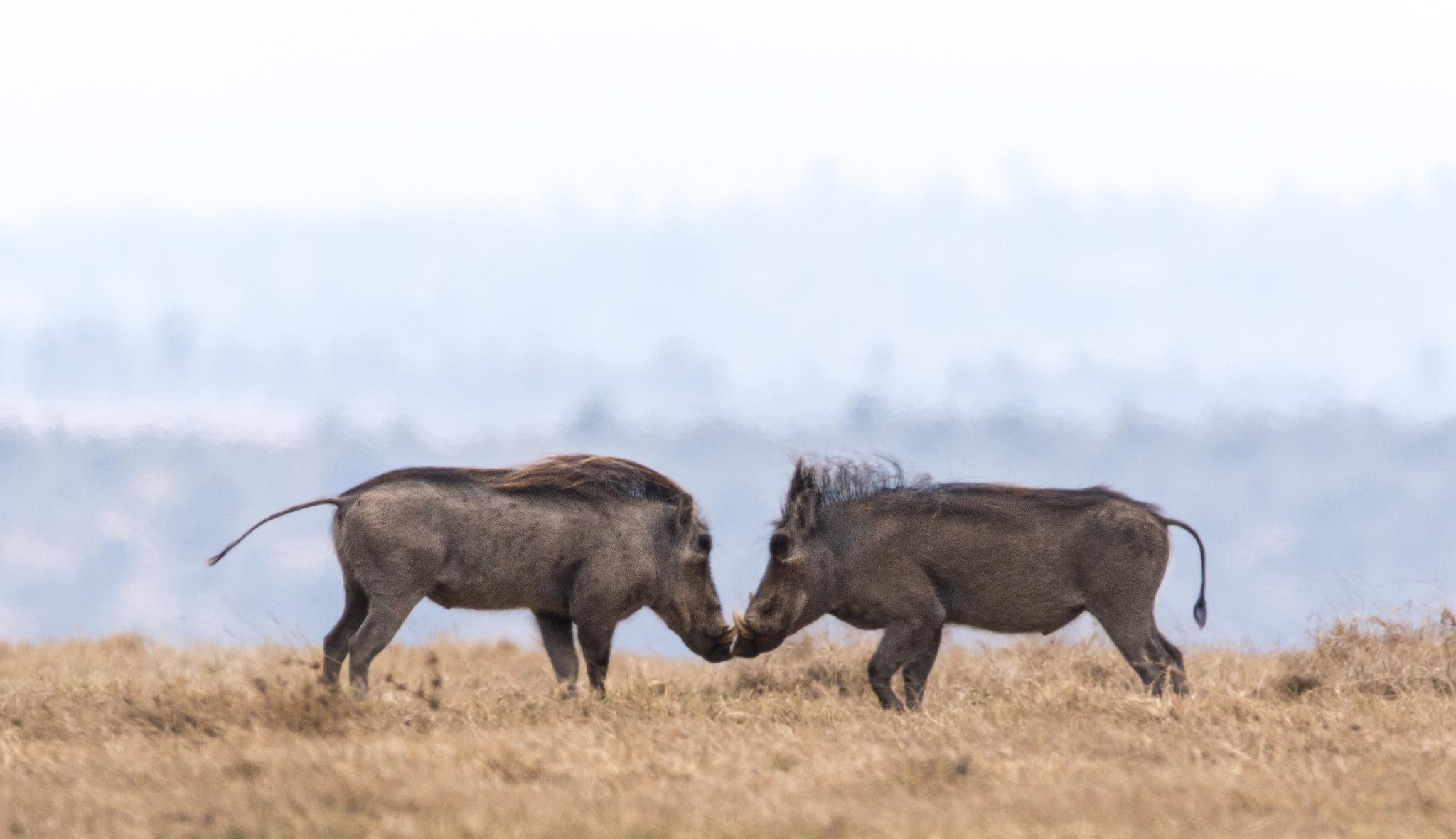 Fighting warthogs by Linda Myrberg