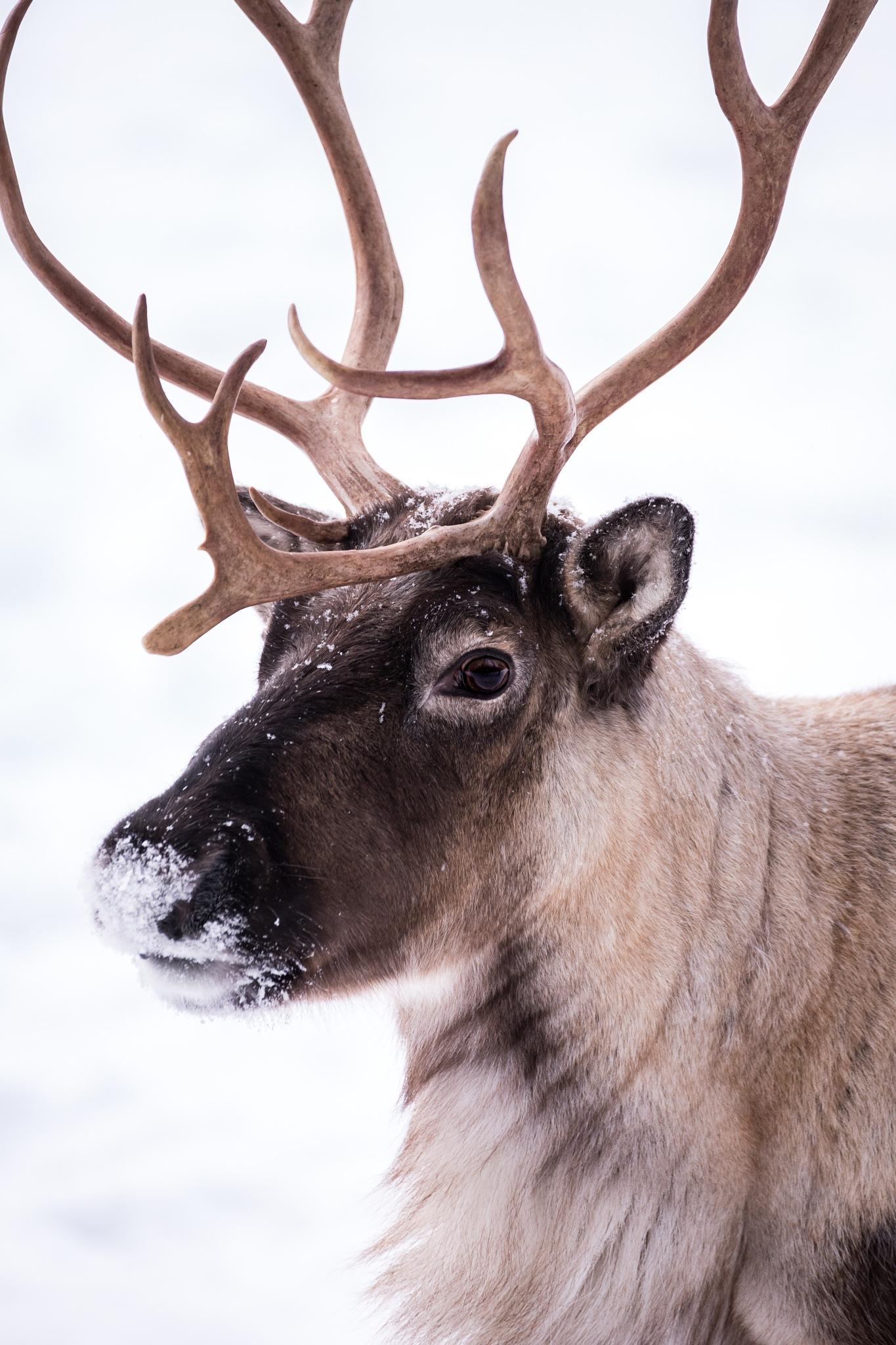 Reindeer by Linda Myrberg