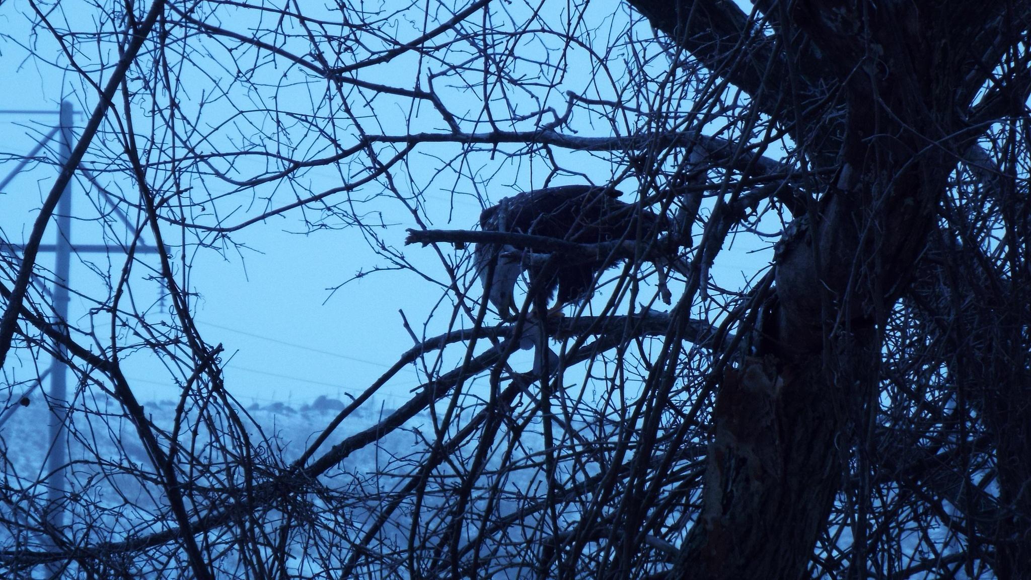Eagle by Craig Tracy