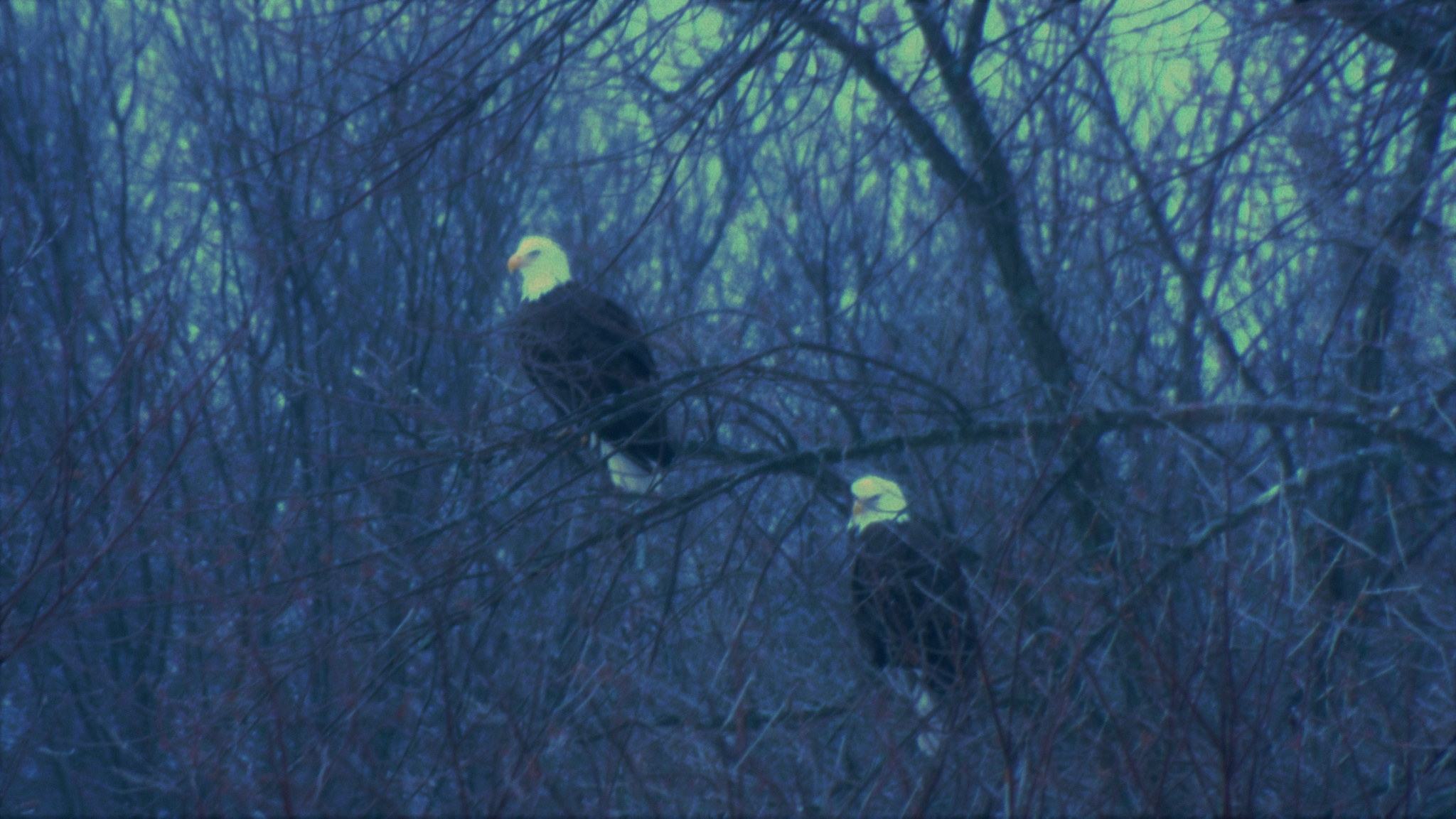 Bald Eagles by Craig Tracy