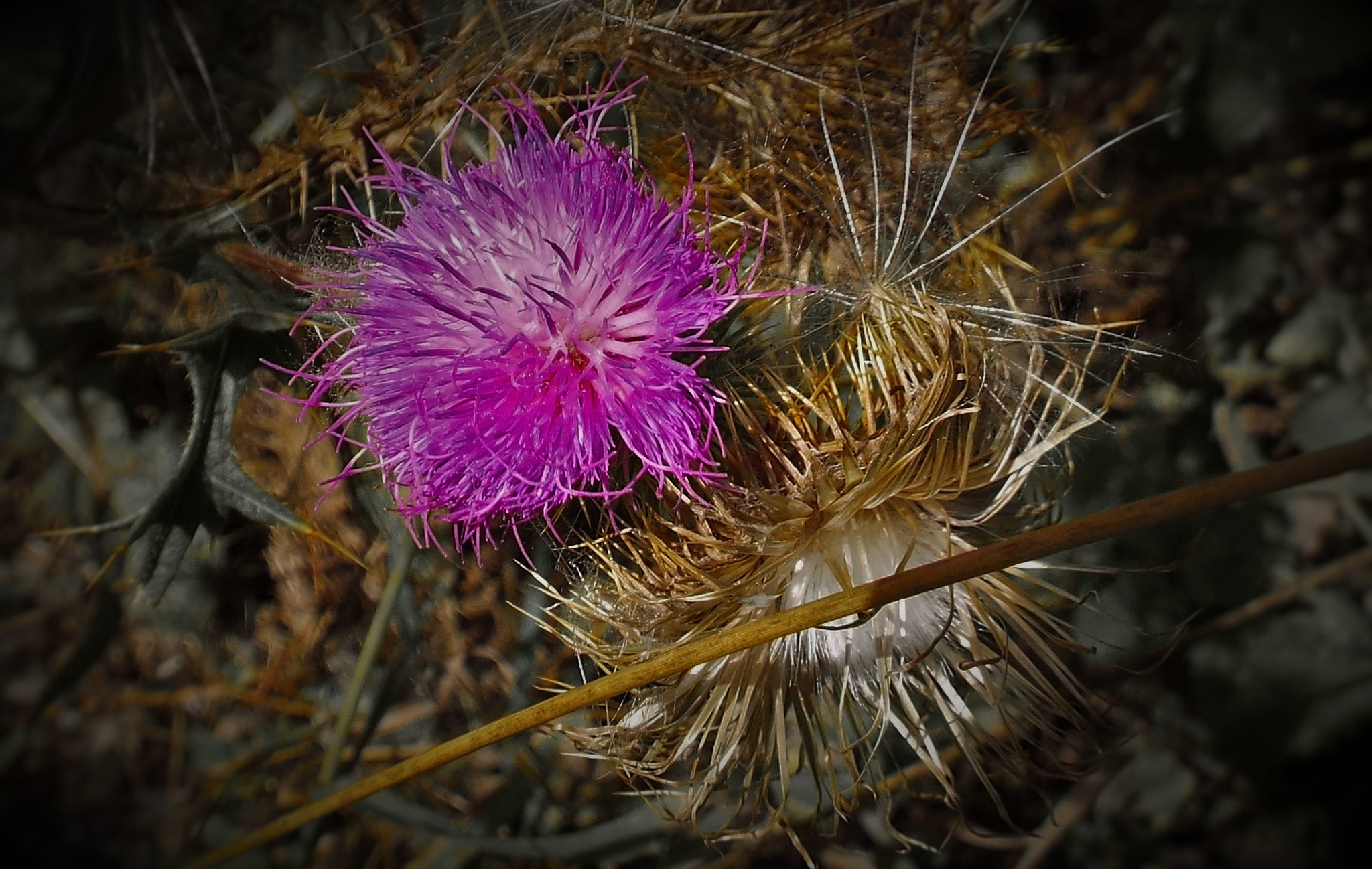 Photo in Landscape #thistle #pricker #nature #flower #weed