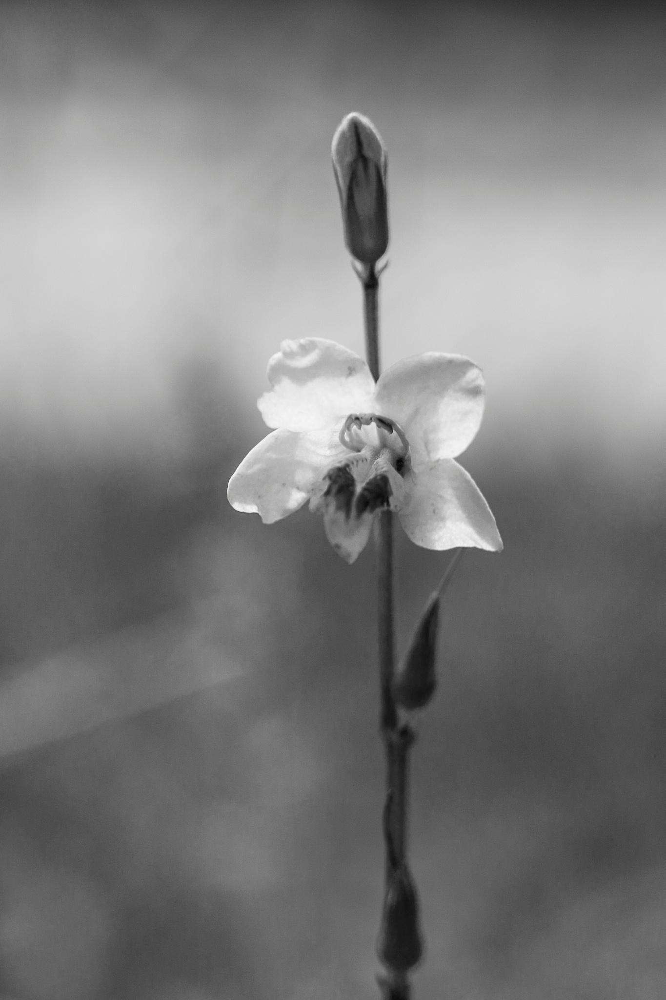 wild flower 2 by Syafri Gamal