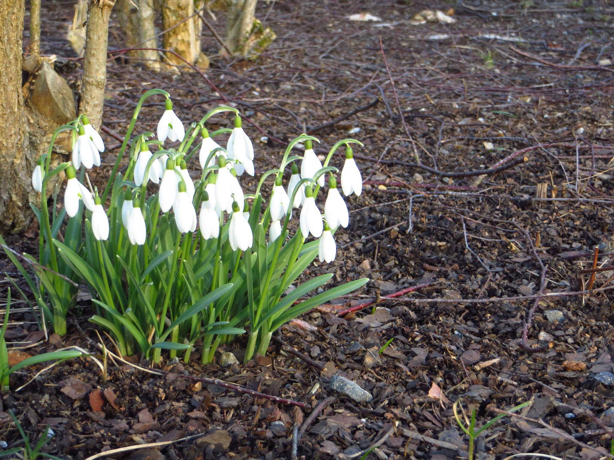 Snowdrops by Lucy Hansson