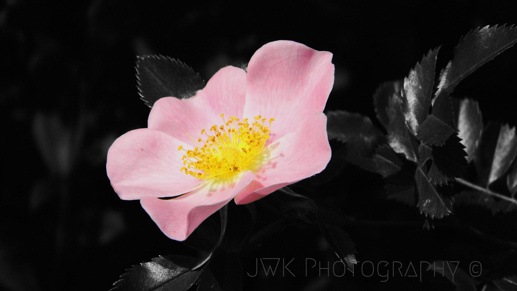 """Wild Rose"" 2 by Jesse Kalberlah"