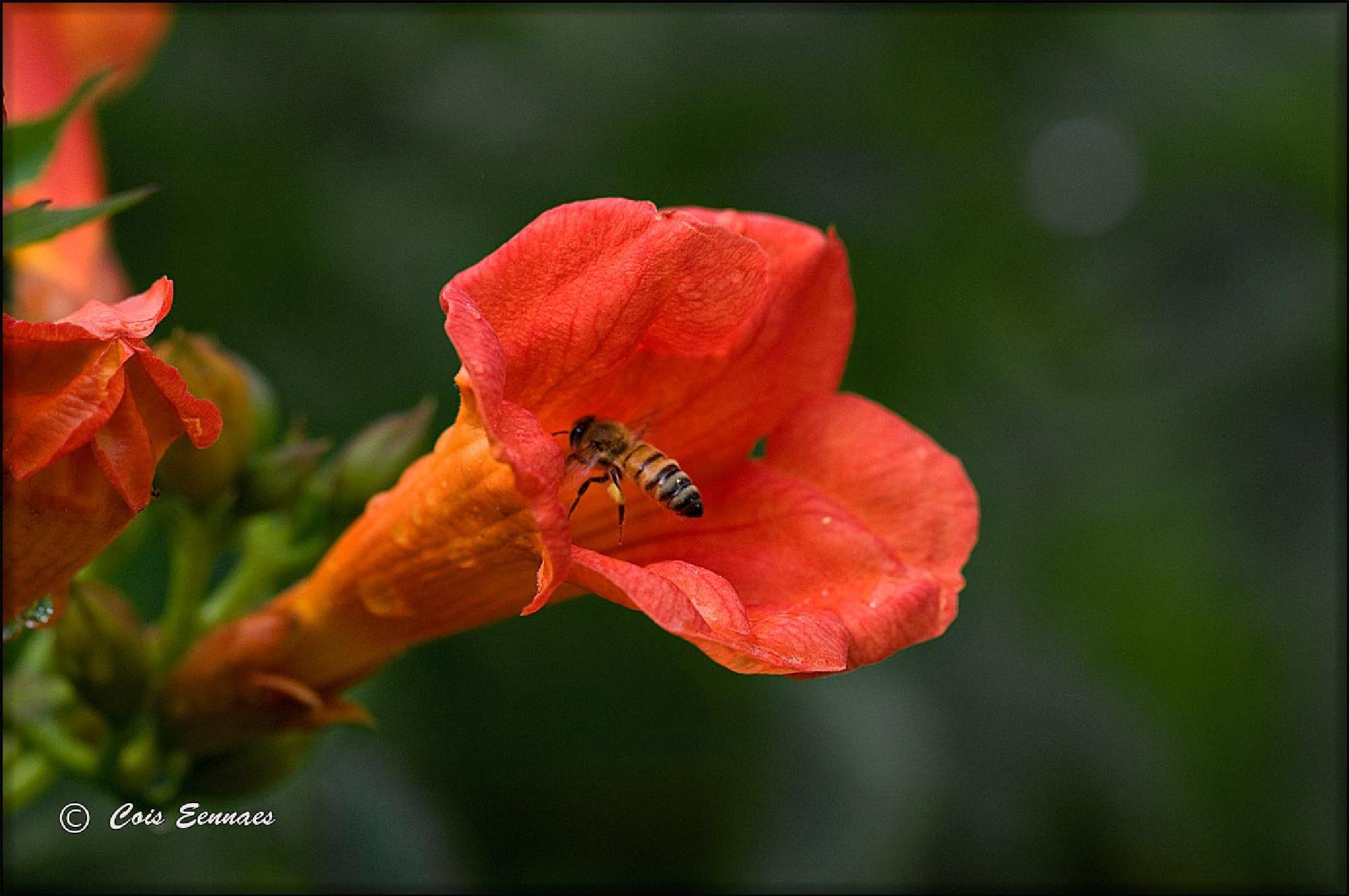 Bij vliegt in bloem by Eennaes Francois