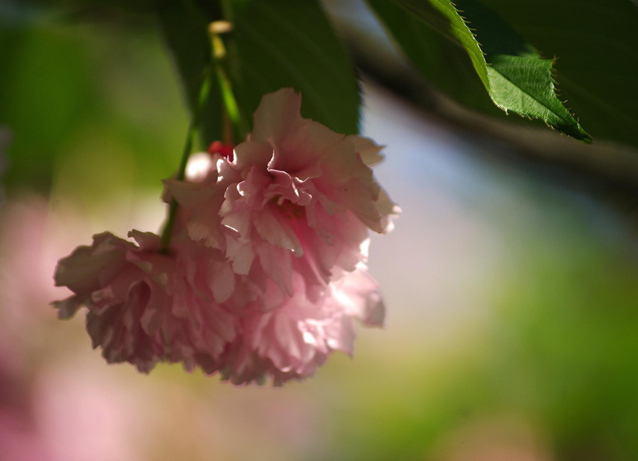 Almond tree by BarbaraPrasnowska