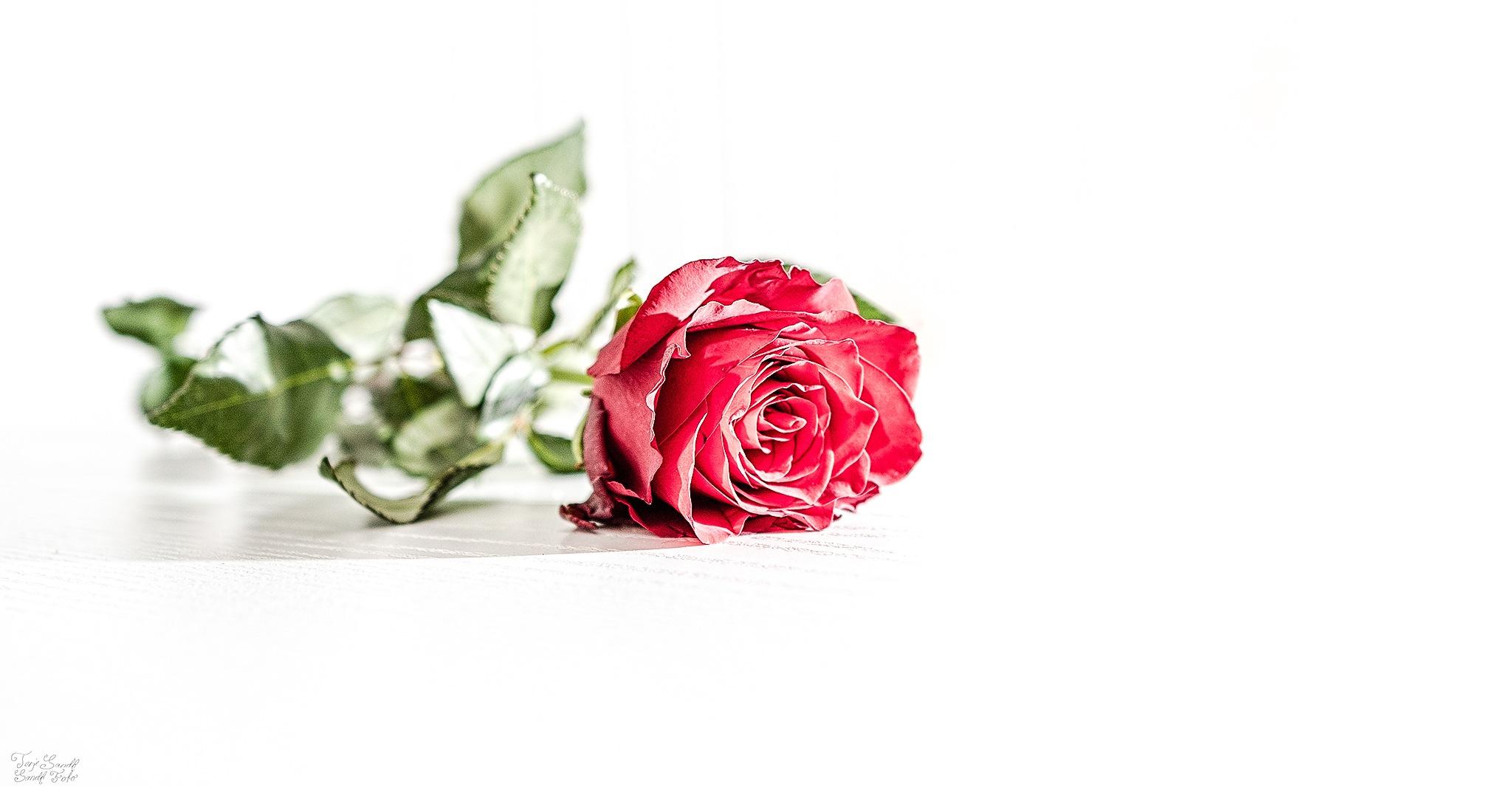 Red rose  by tjsandofoto