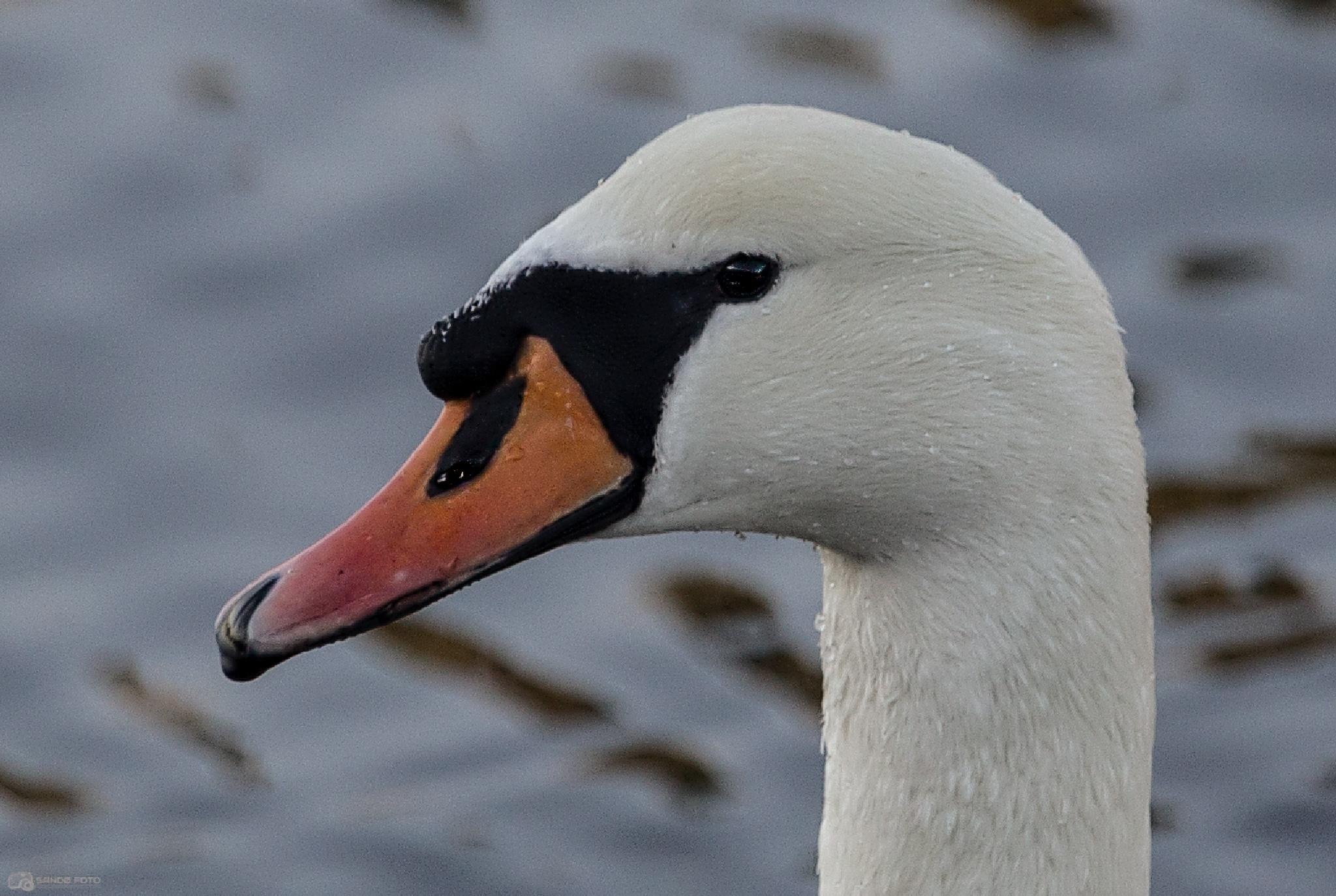 Swan by tjsandofoto