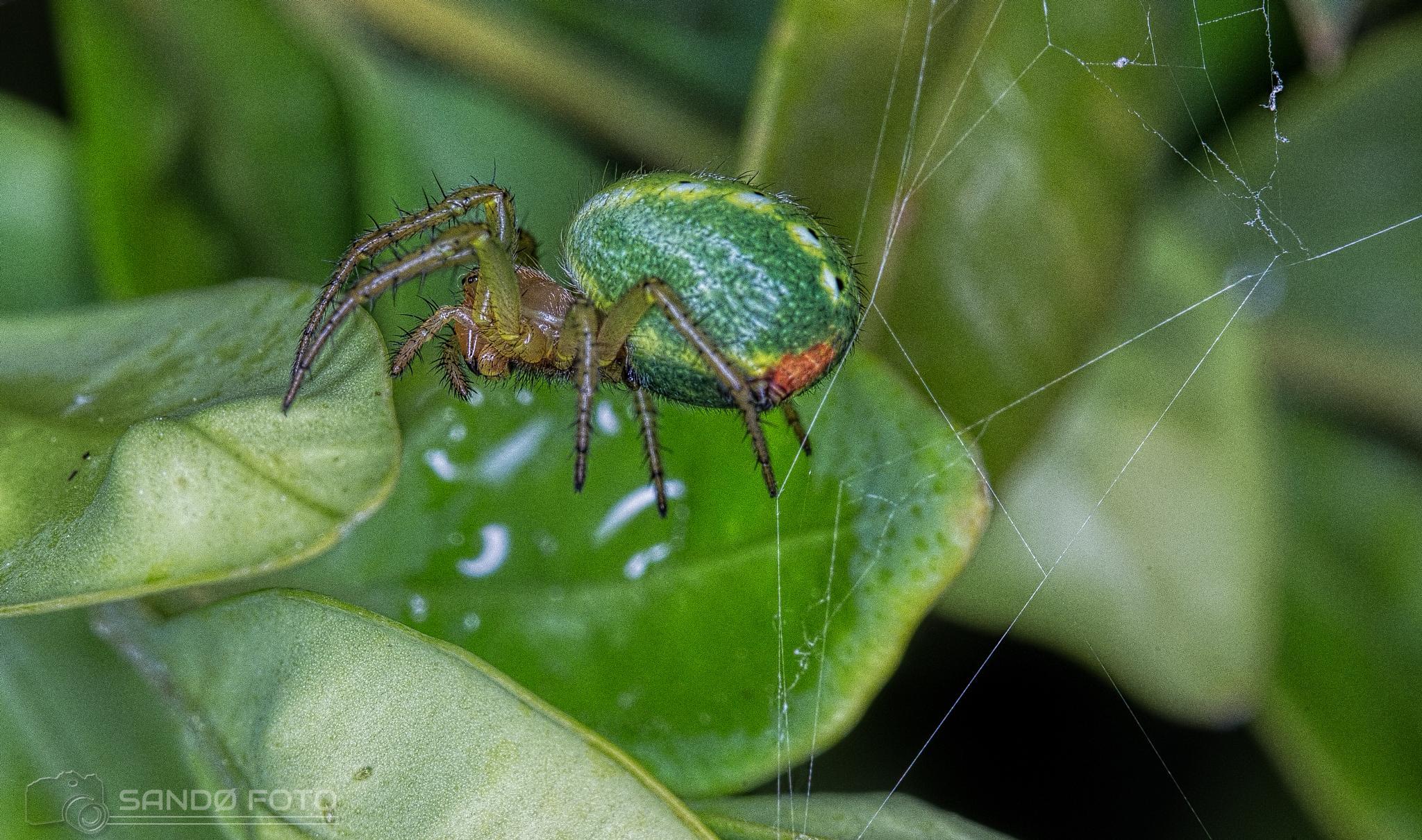 Tiny Green spider by tjsandofoto