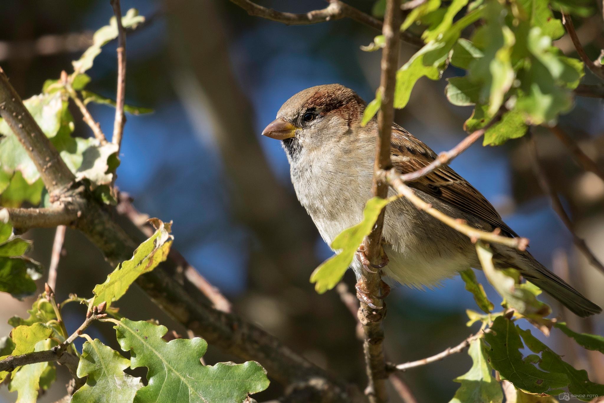 Sparrow enjoying the sun by tjsandofoto