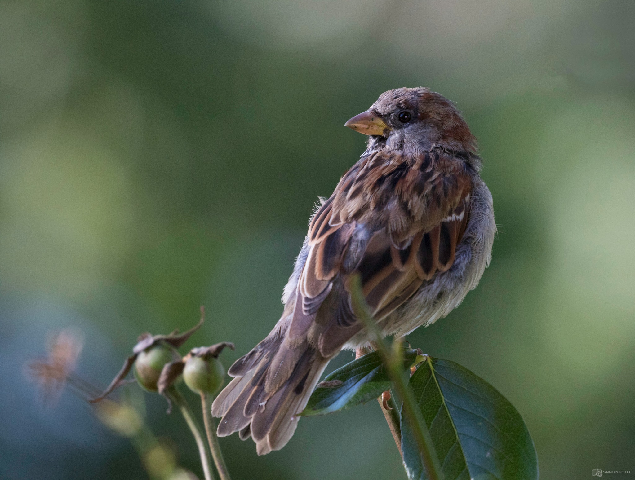 A lonely Sparrow by tjsandofoto