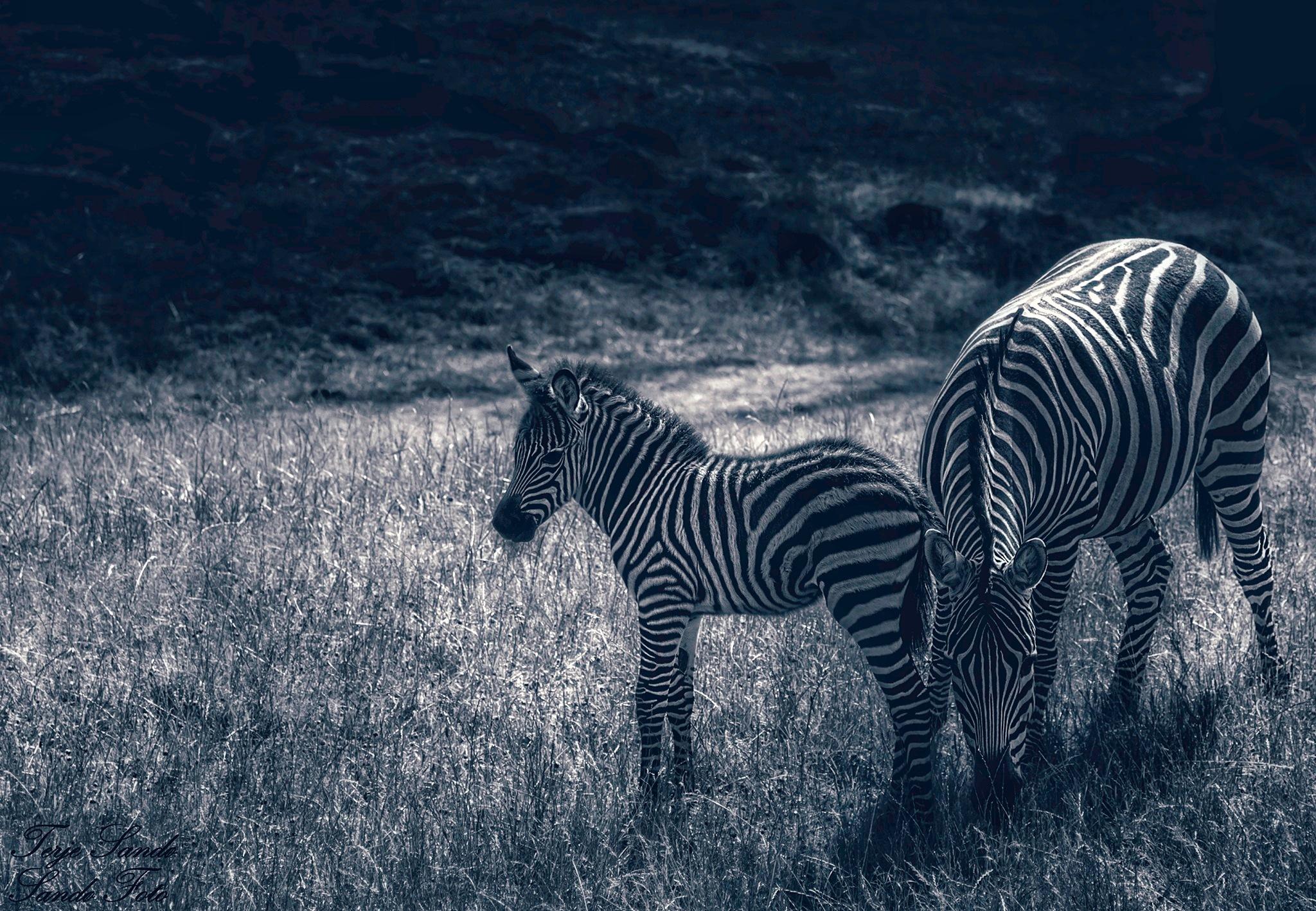 Zebras  by tjsandofoto