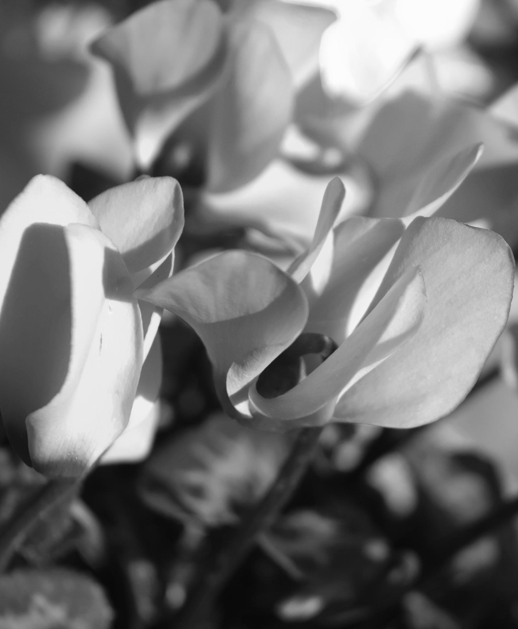 Black & White garden flowers by A Quiet Whisper/Melanie Daignault