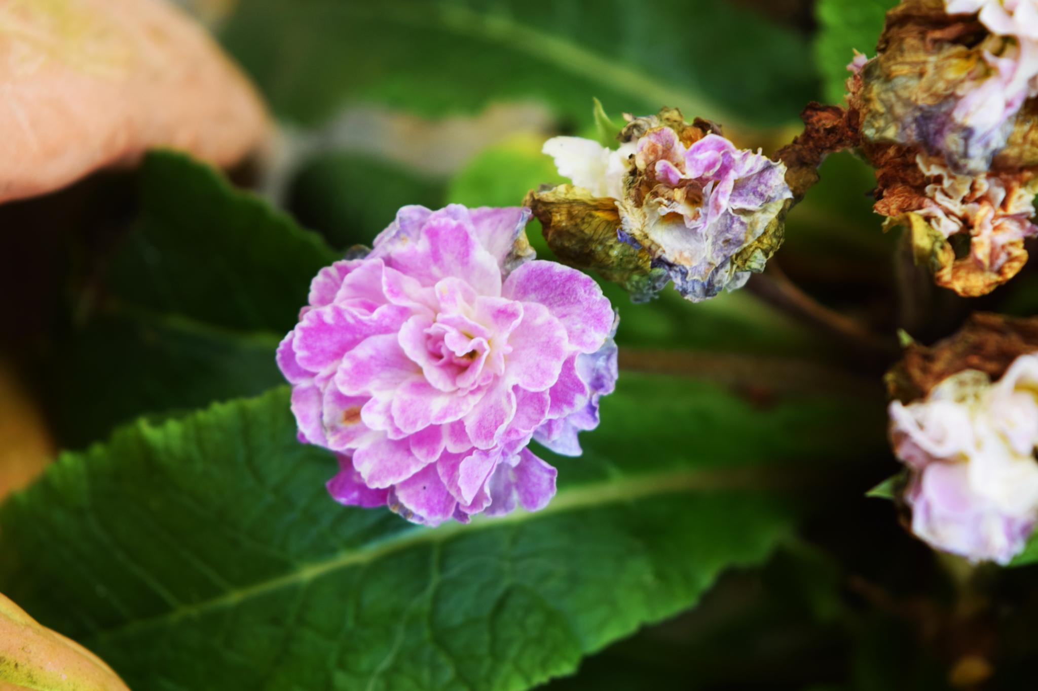 The last Blossom by A Quiet Whisper/Melanie Daignault