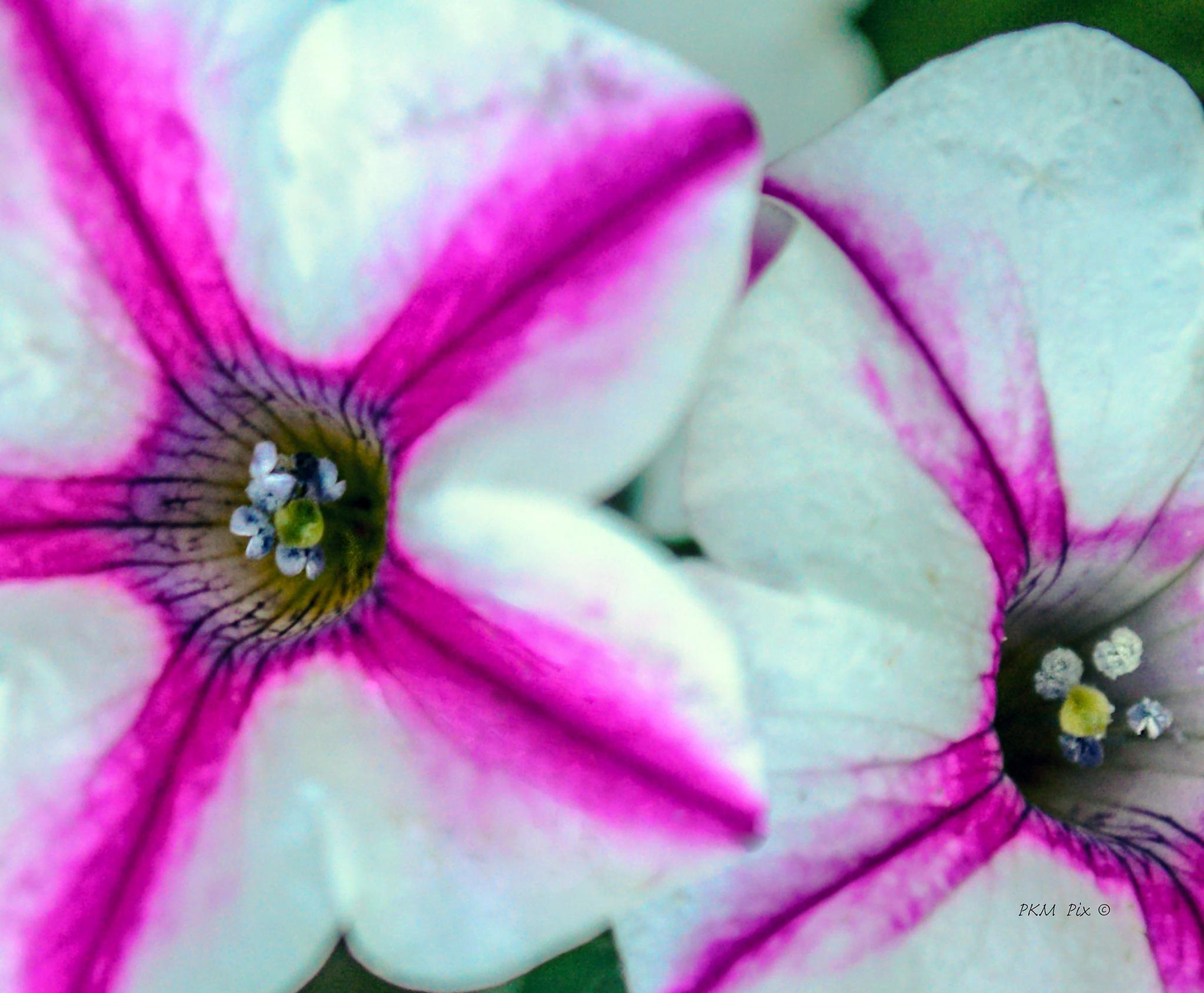 pretty petunias by pam.satterfieldmanning