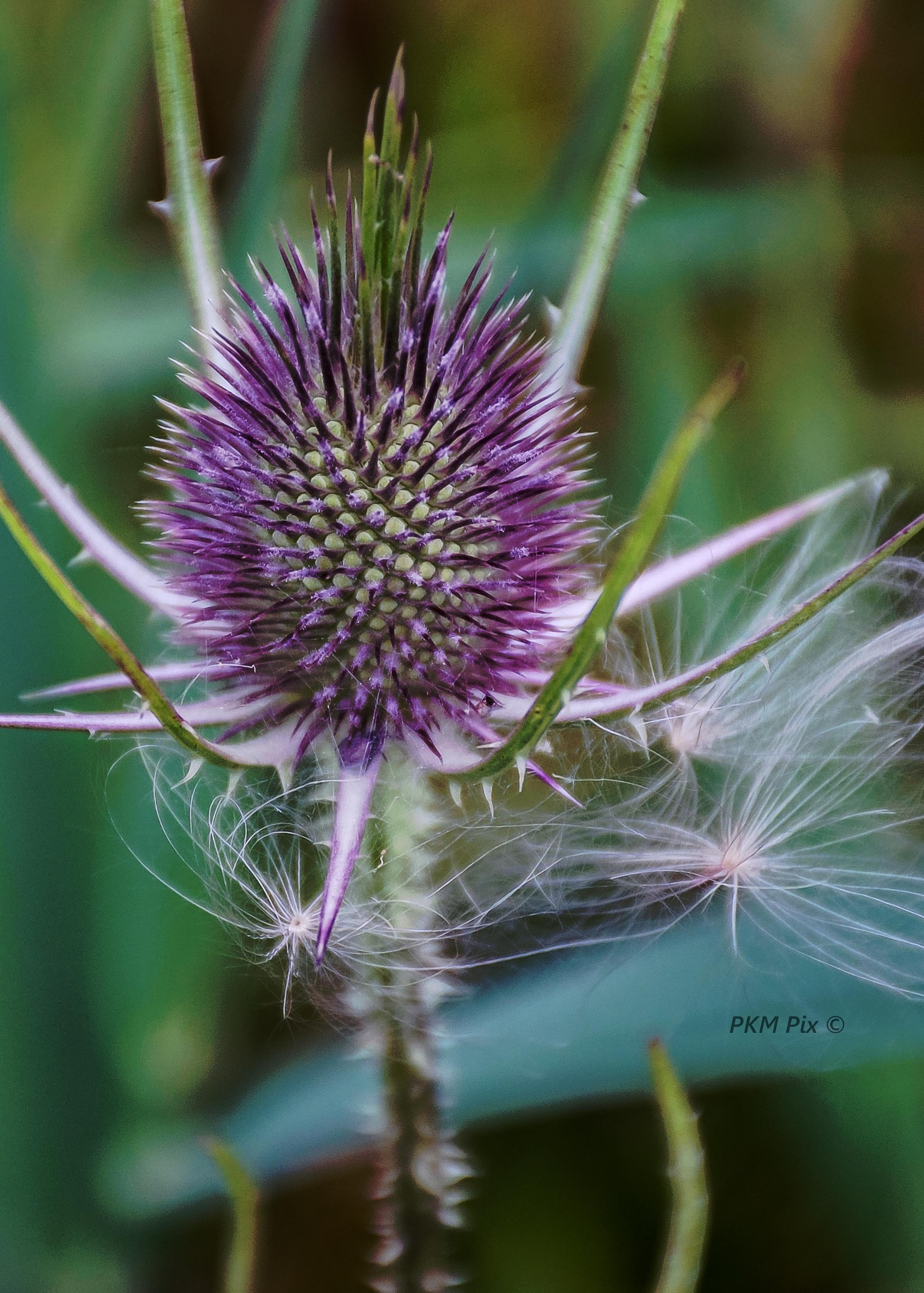 Thistle by pam.satterfieldmanning
