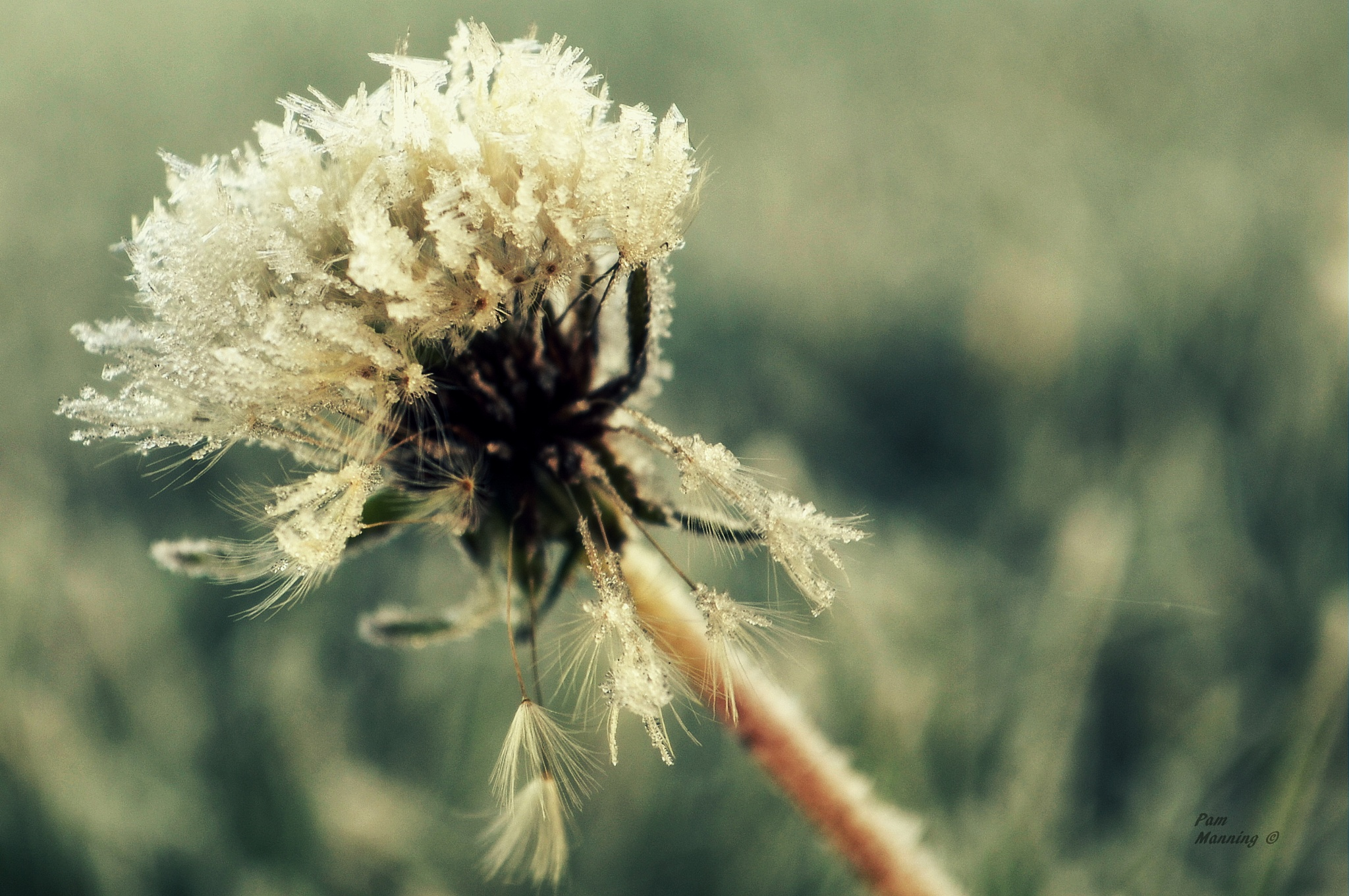 Frosted Dandelion 2 by pam.satterfieldmanning