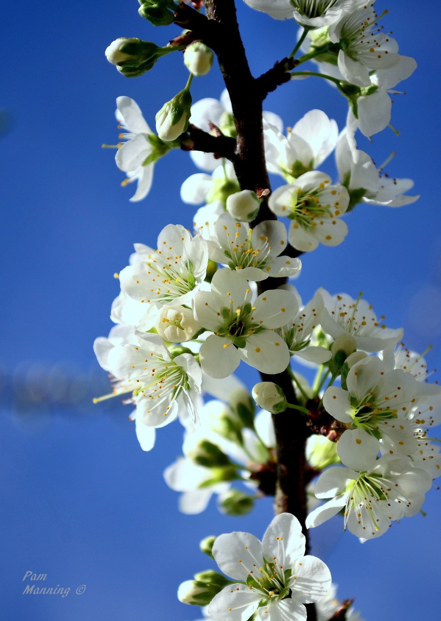 White blossoms 1 by pam.satterfieldmanning