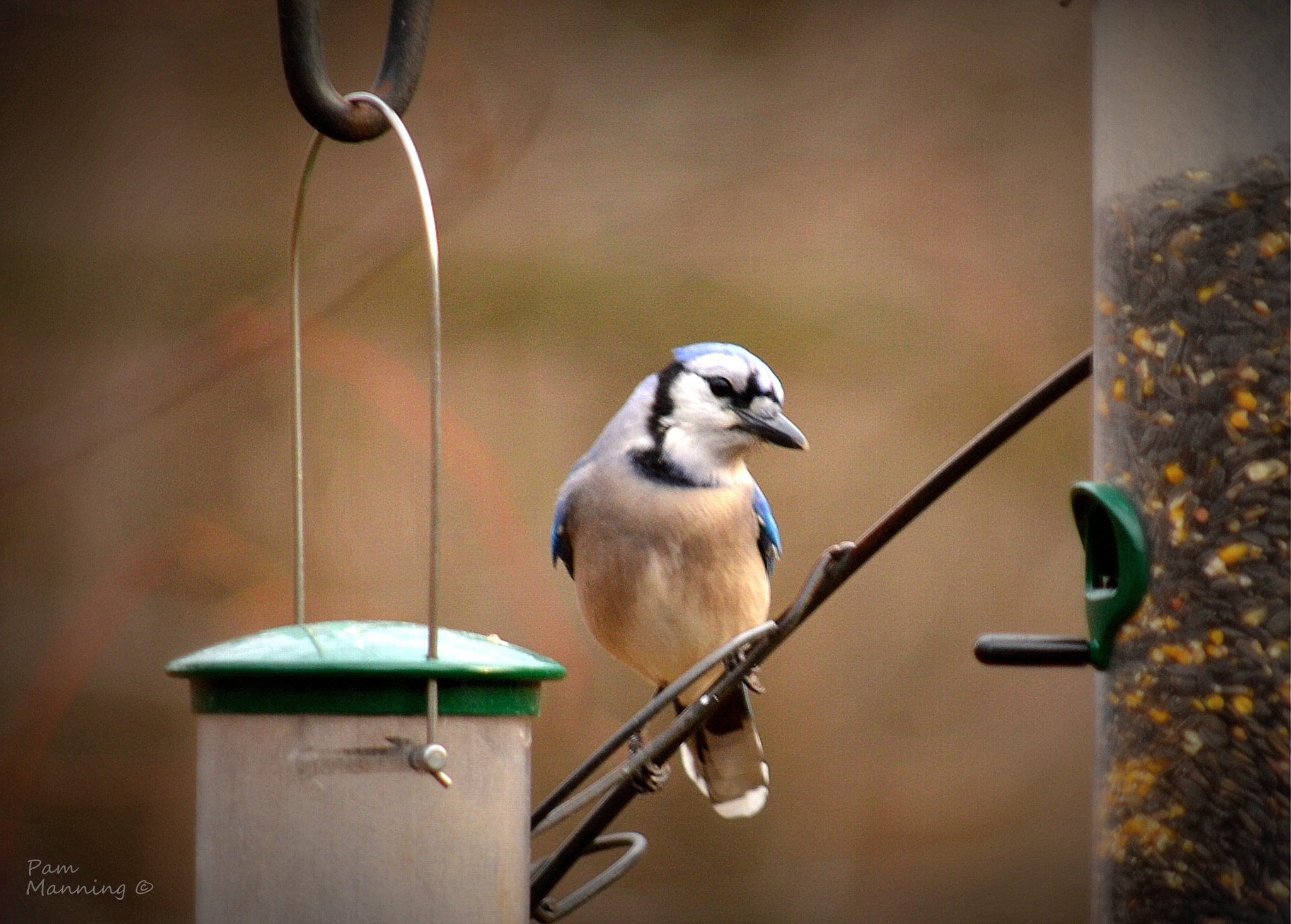 Blue Jay at feeder 1 by pam.satterfieldmanning