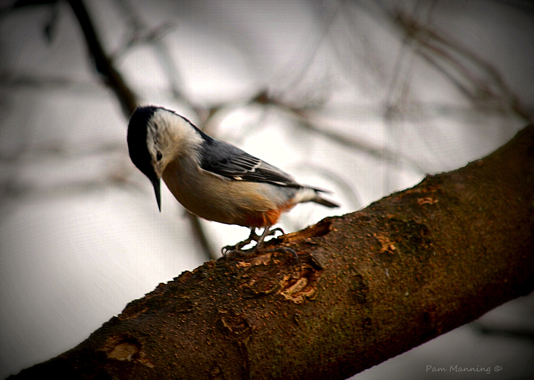 nuthatch by pam.satterfieldmanning