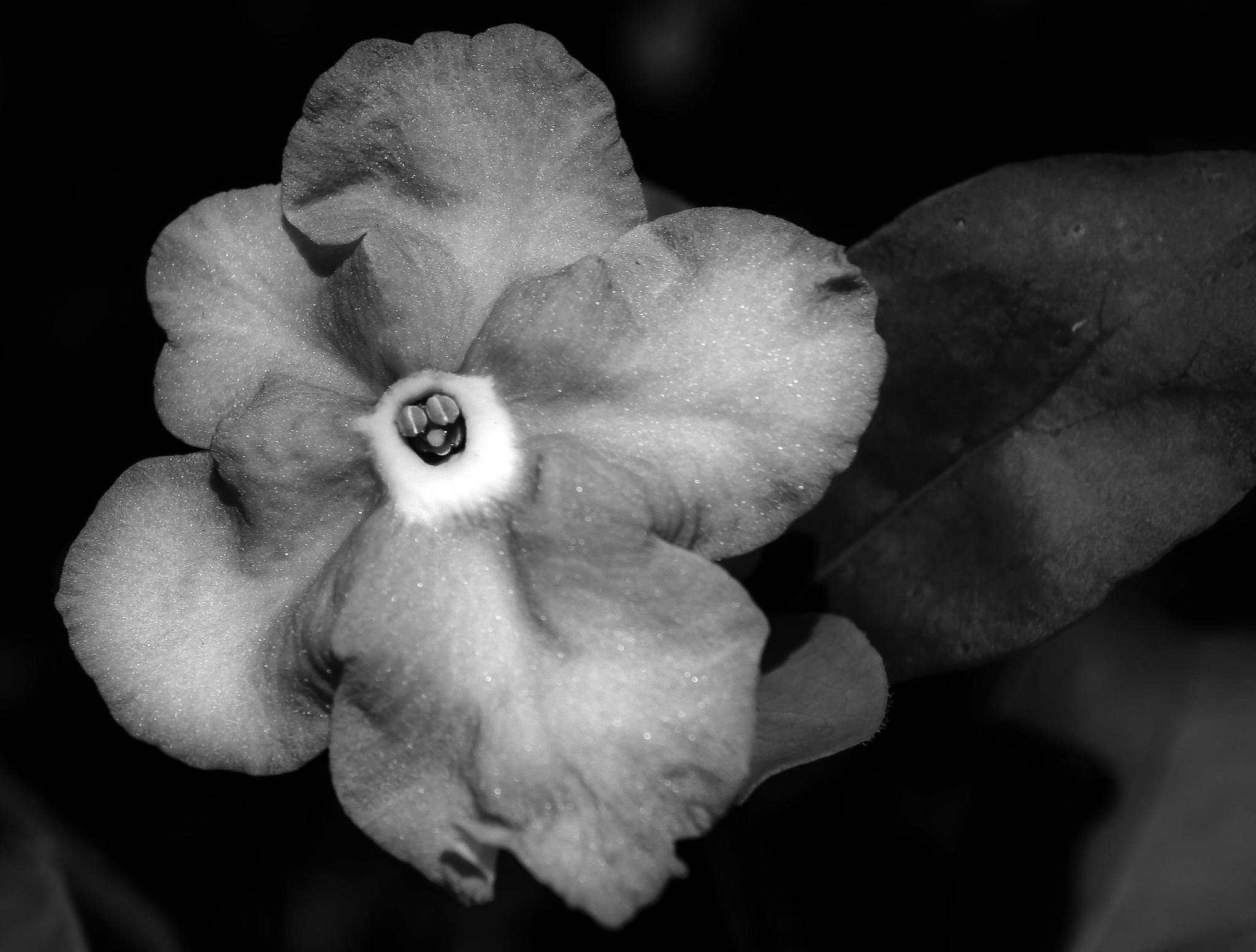 Violet flower in B&W by pam.satterfieldmanning