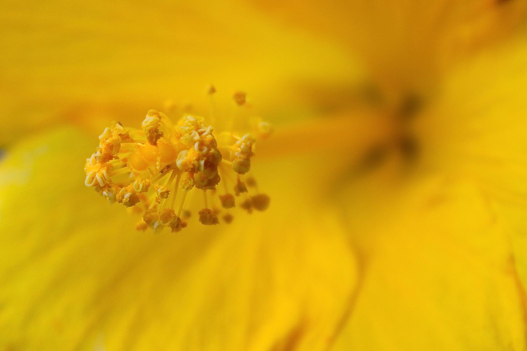 Hibiscus Macro by heidi.croddick