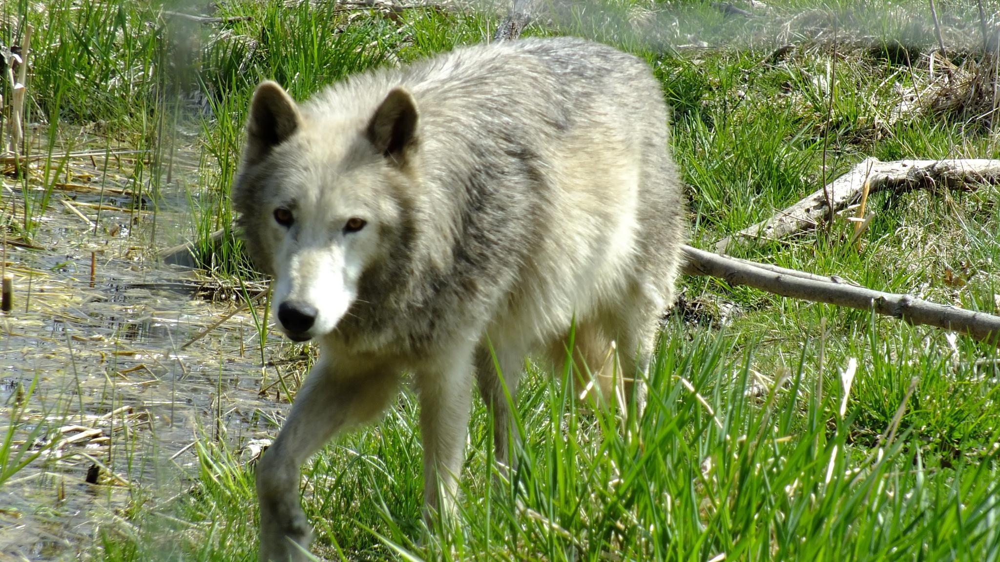 Dad Wolf by McaSasW