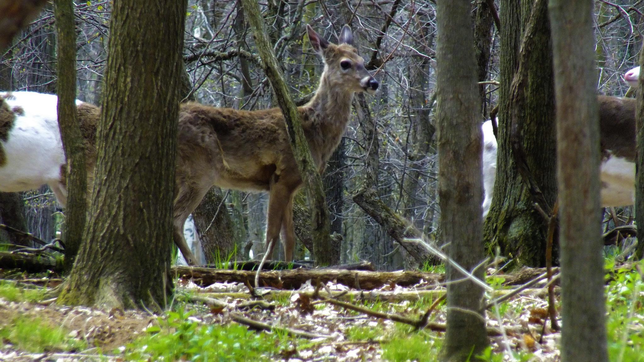 Photo in Nature #deer #female #doe #woods #animal #nature