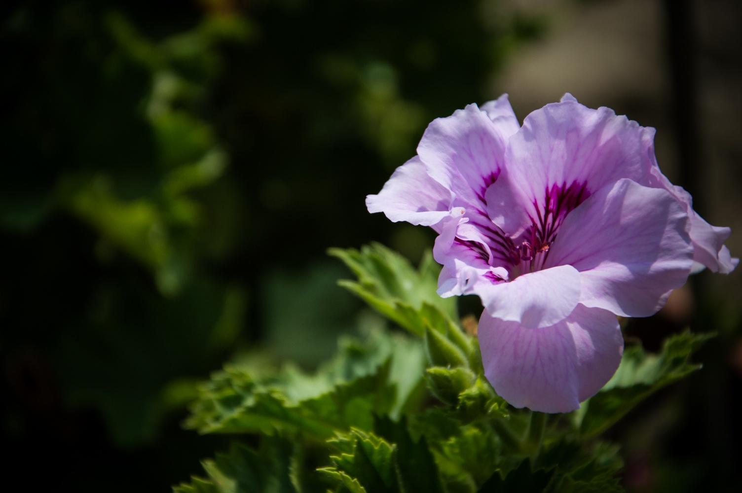 Violet by gennaro.riccio