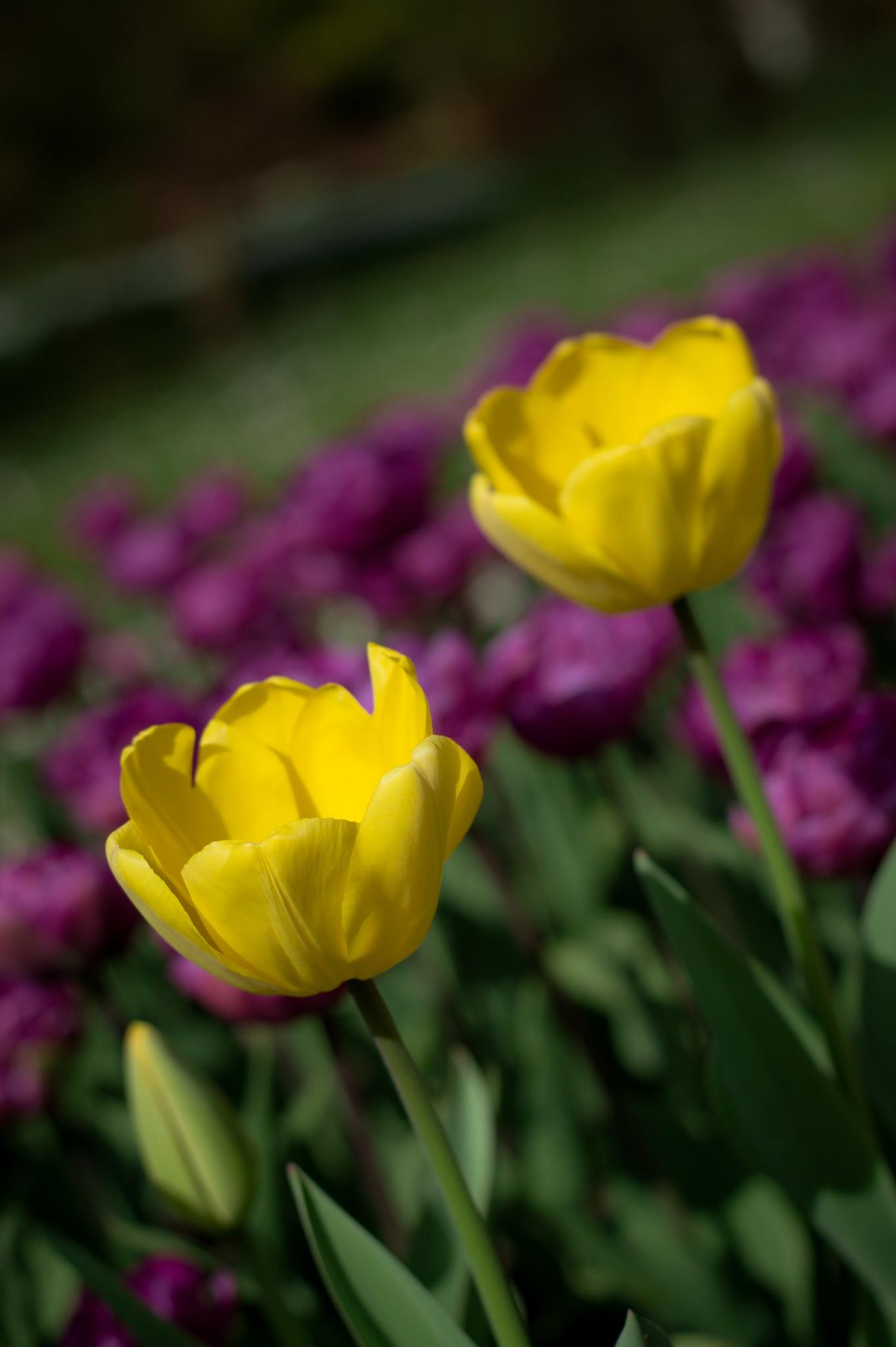 Tulipan by gennaro.riccio