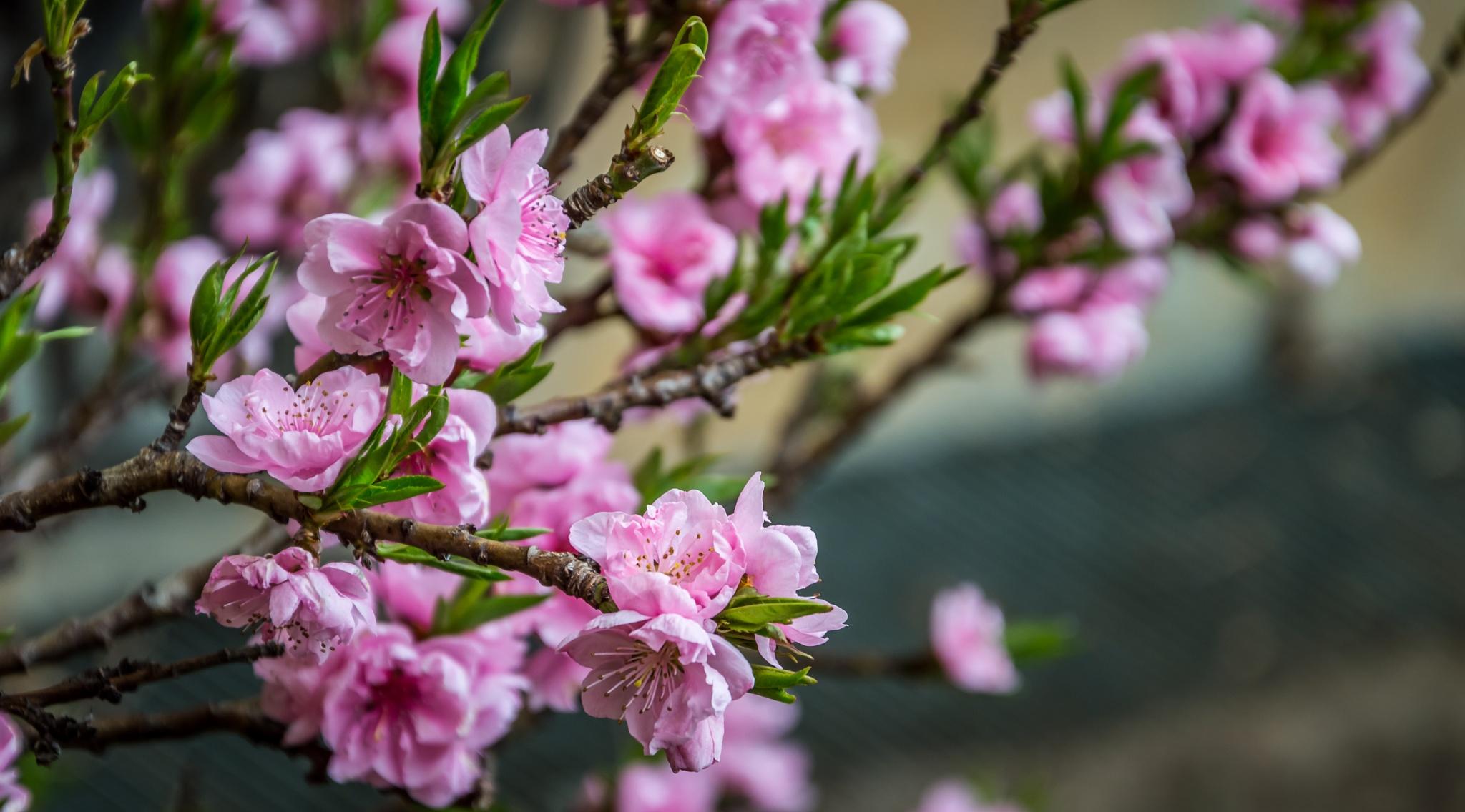 Peach flowers by gennaro.riccio