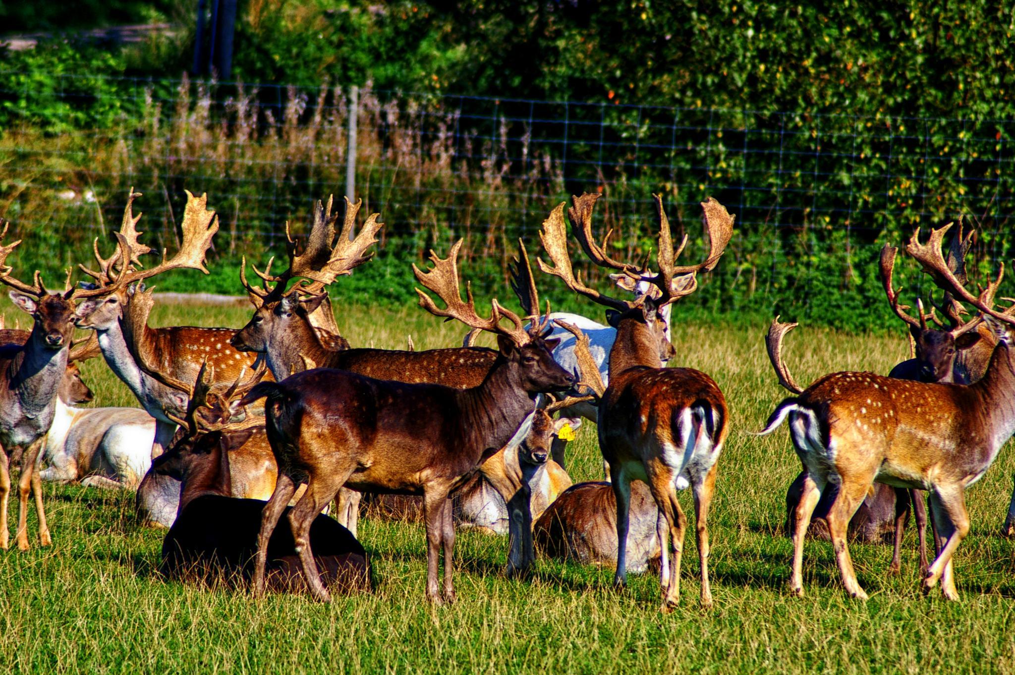 Deer by Lars Svendsen