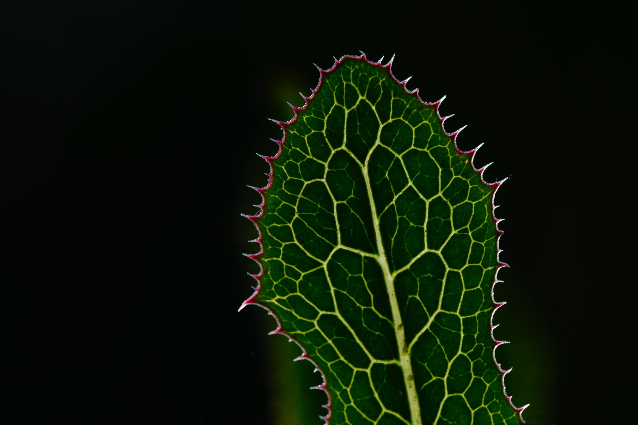Spiky Leaf by Andreas Karlsson