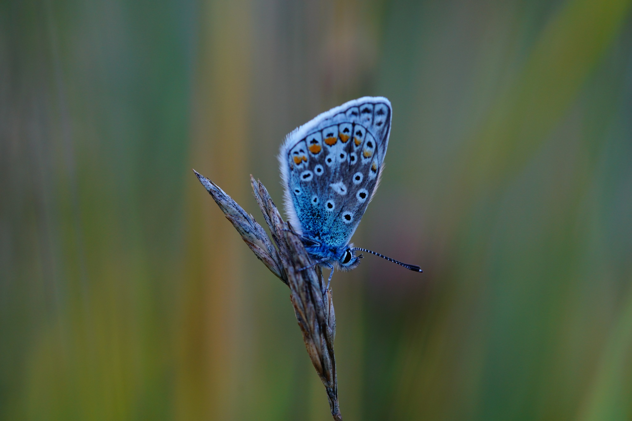 Blue Wing Butterfly by Andreas Karlsson